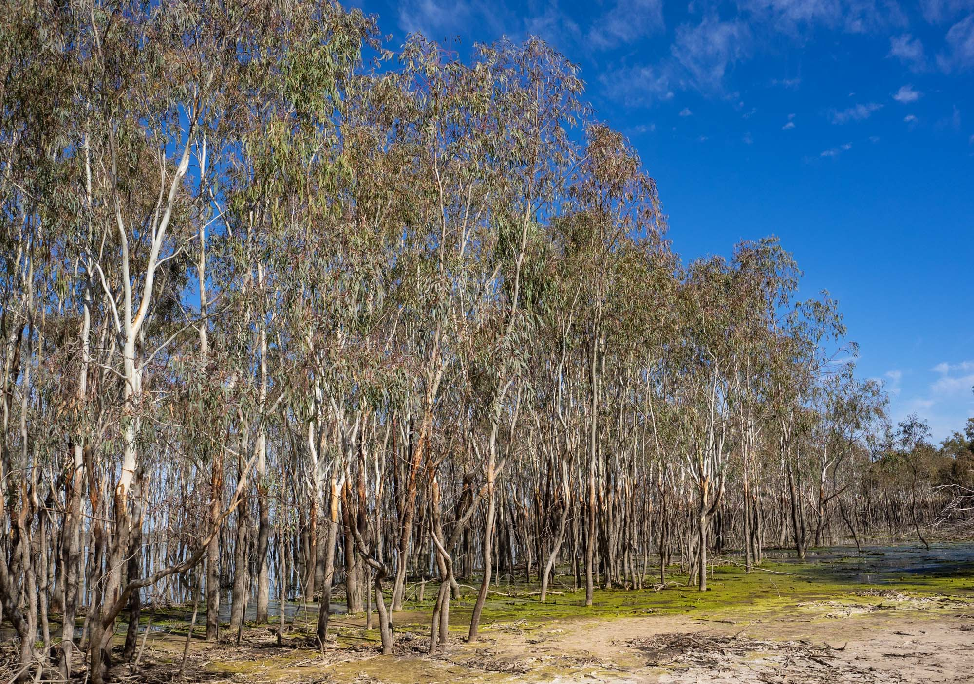 A band of what I assume are River Red Gum saplings lies just offshore. The orange marks on the trunks of this group shows how high the lake can rise when the Murray floods.