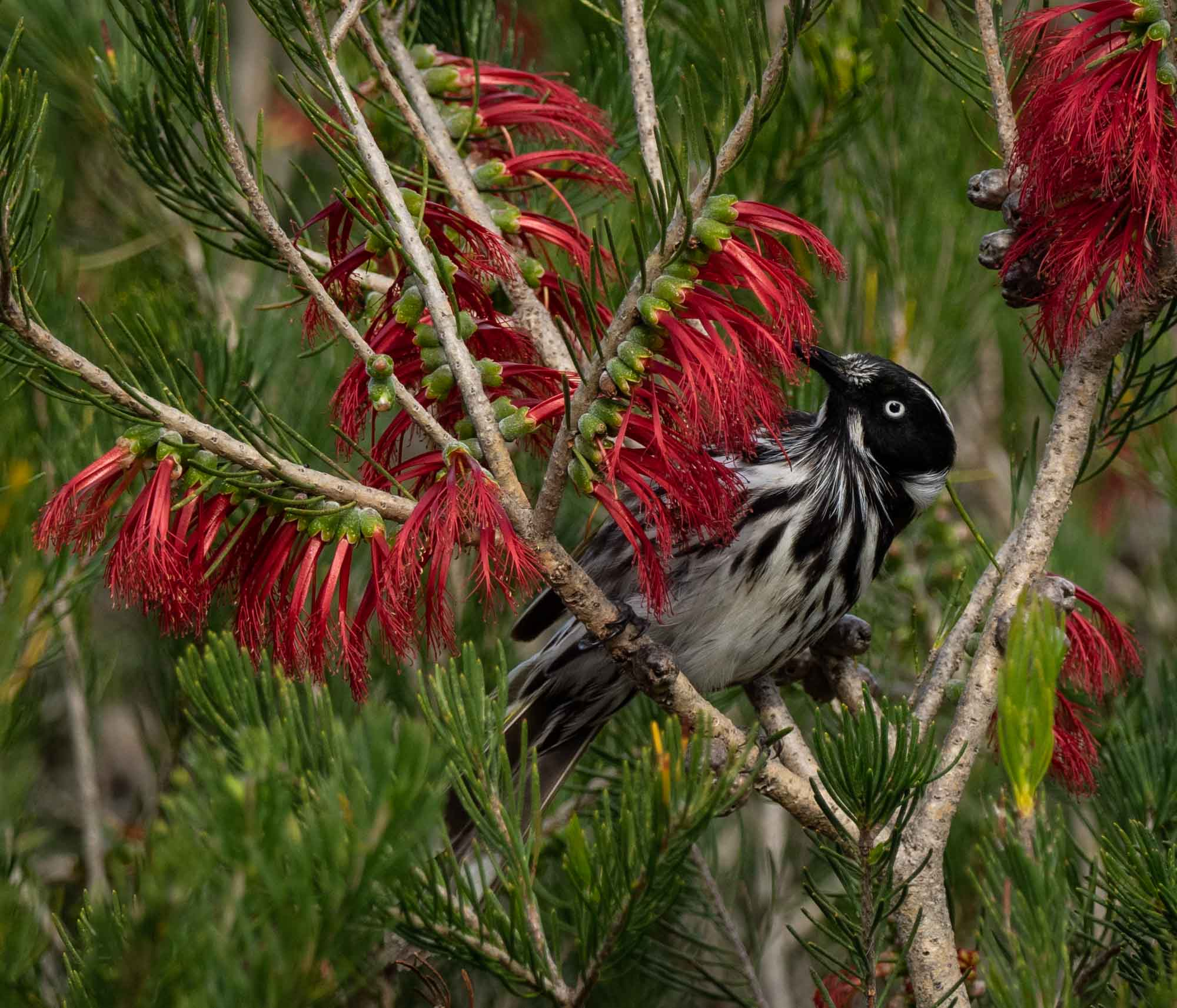New Holland Honeyeater - but a distinct race from the one we know in the east