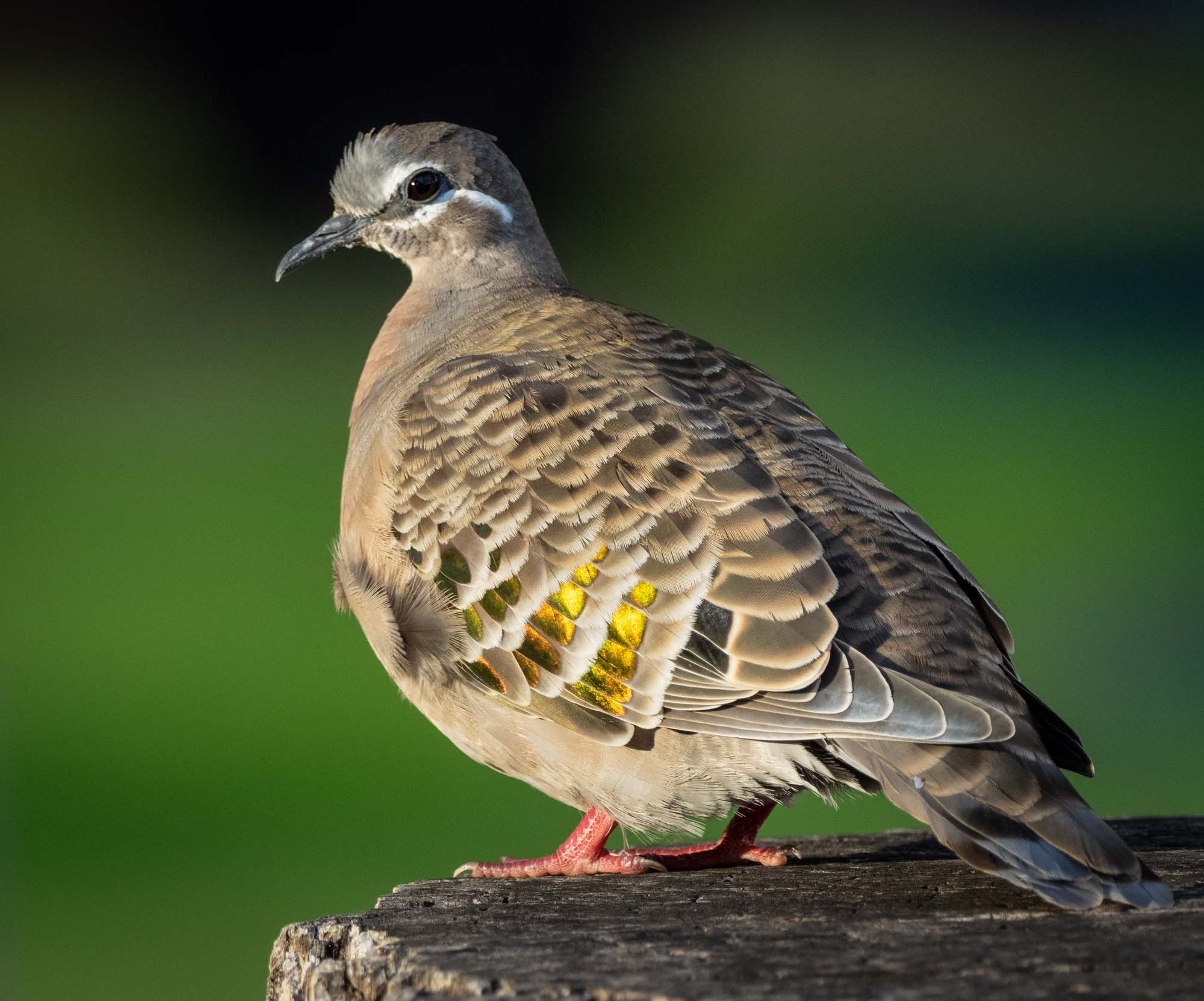 Common Bronzewing … a species that seems identical to ours at home, but is much less wary!