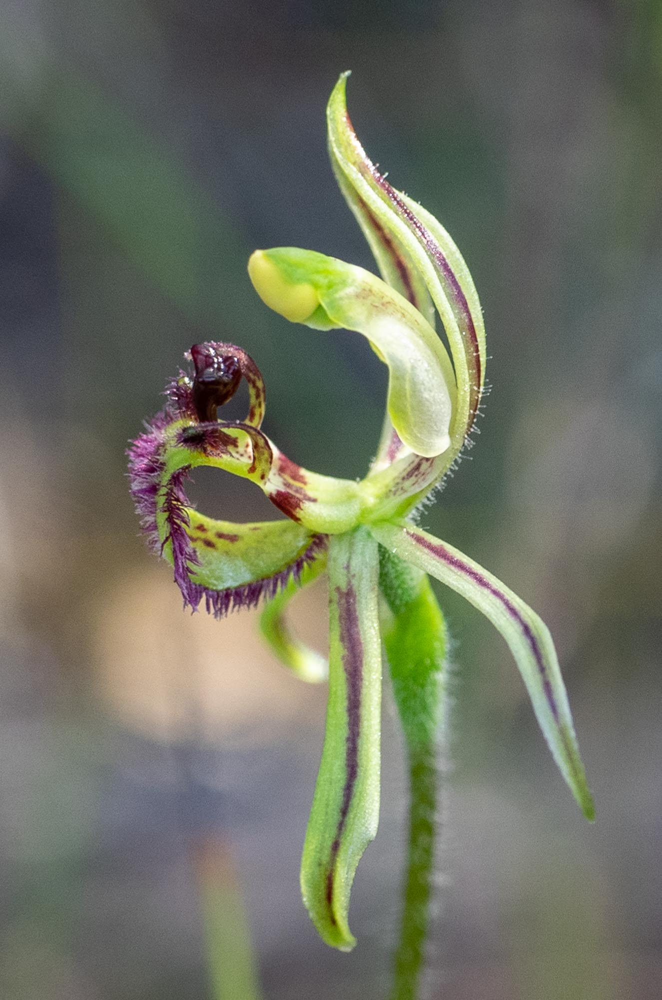 spider orchid 2.jpg