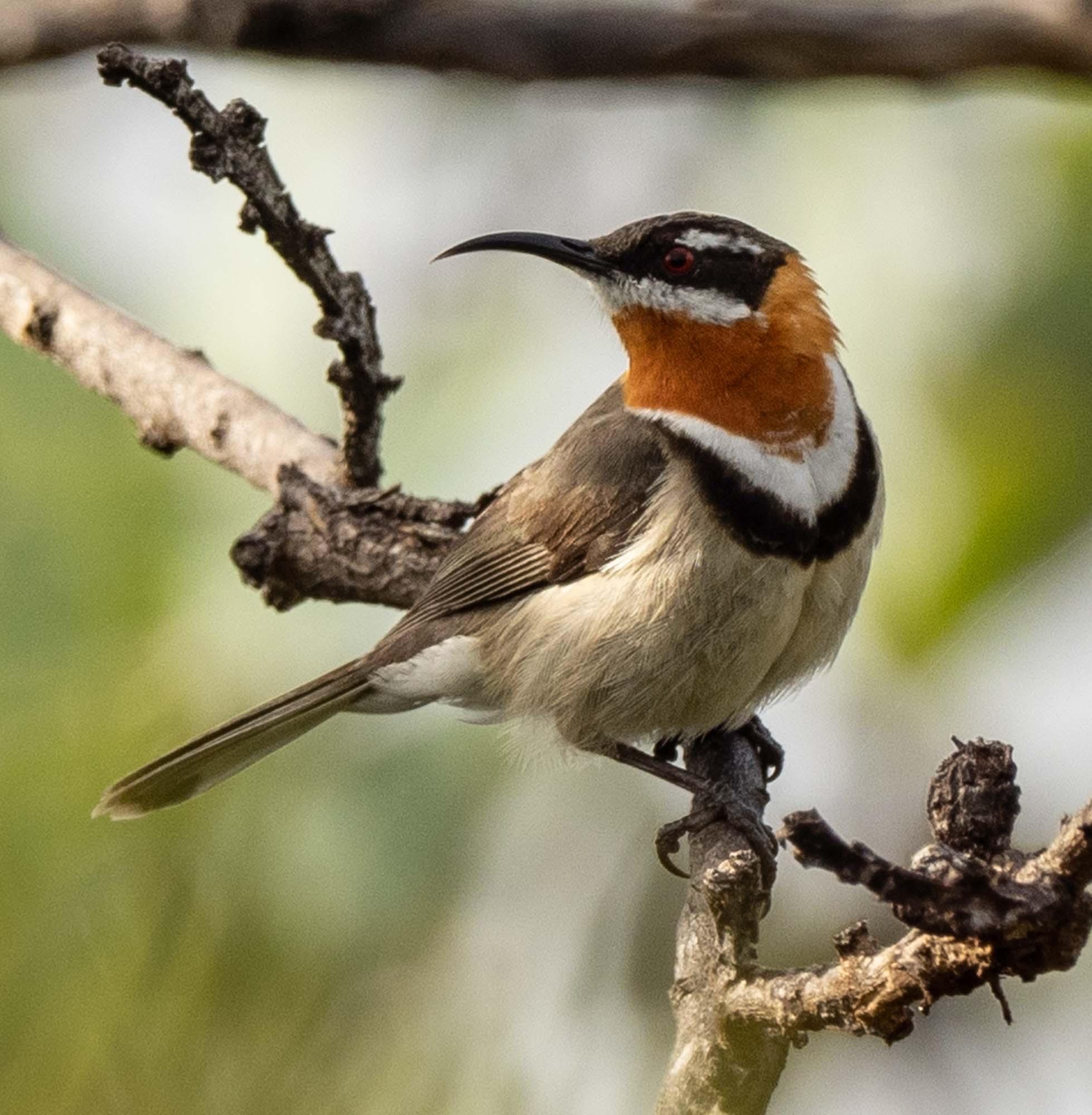 Western Spinebill - male