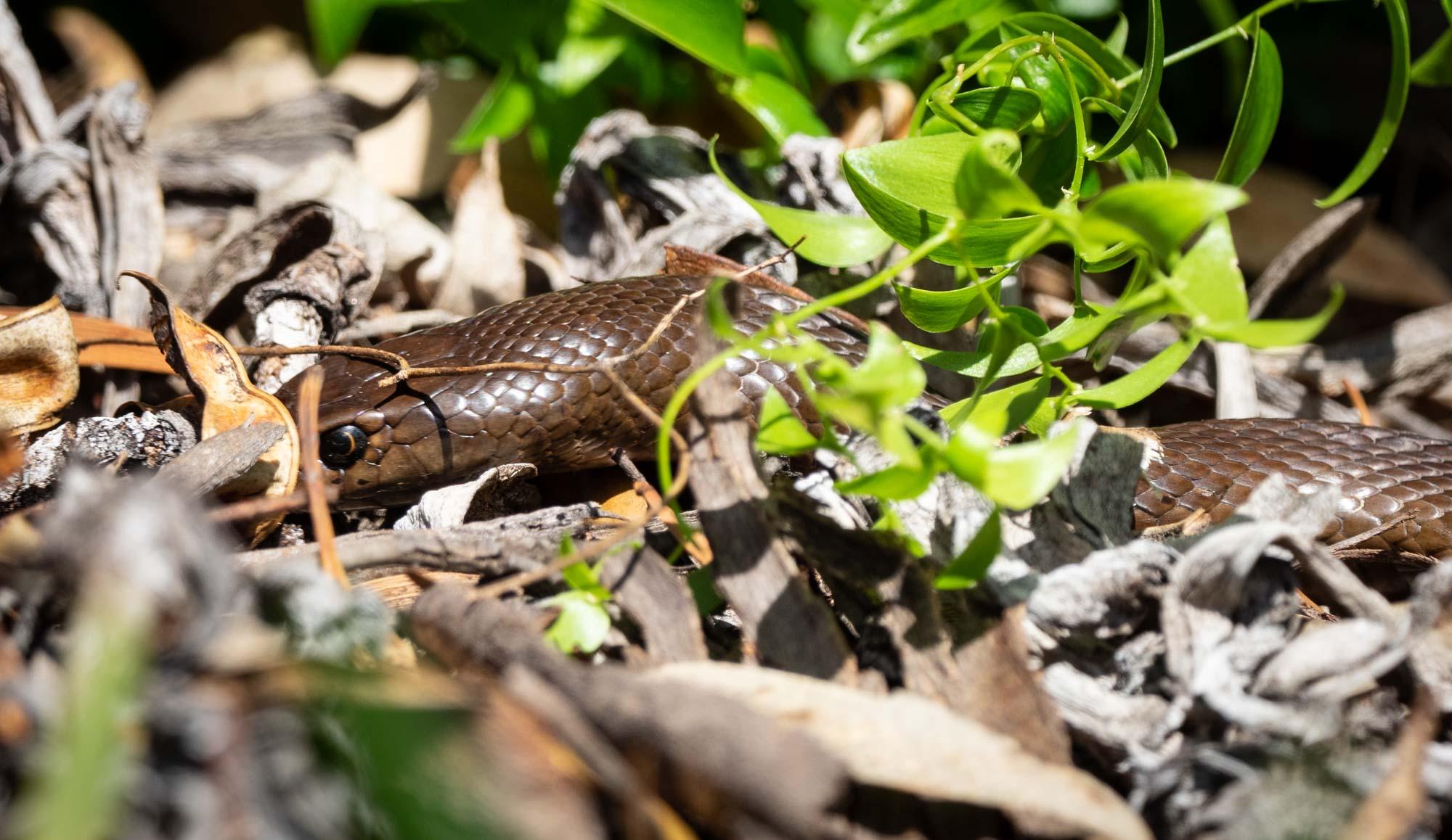 same genus as our Eastern Brown Snake