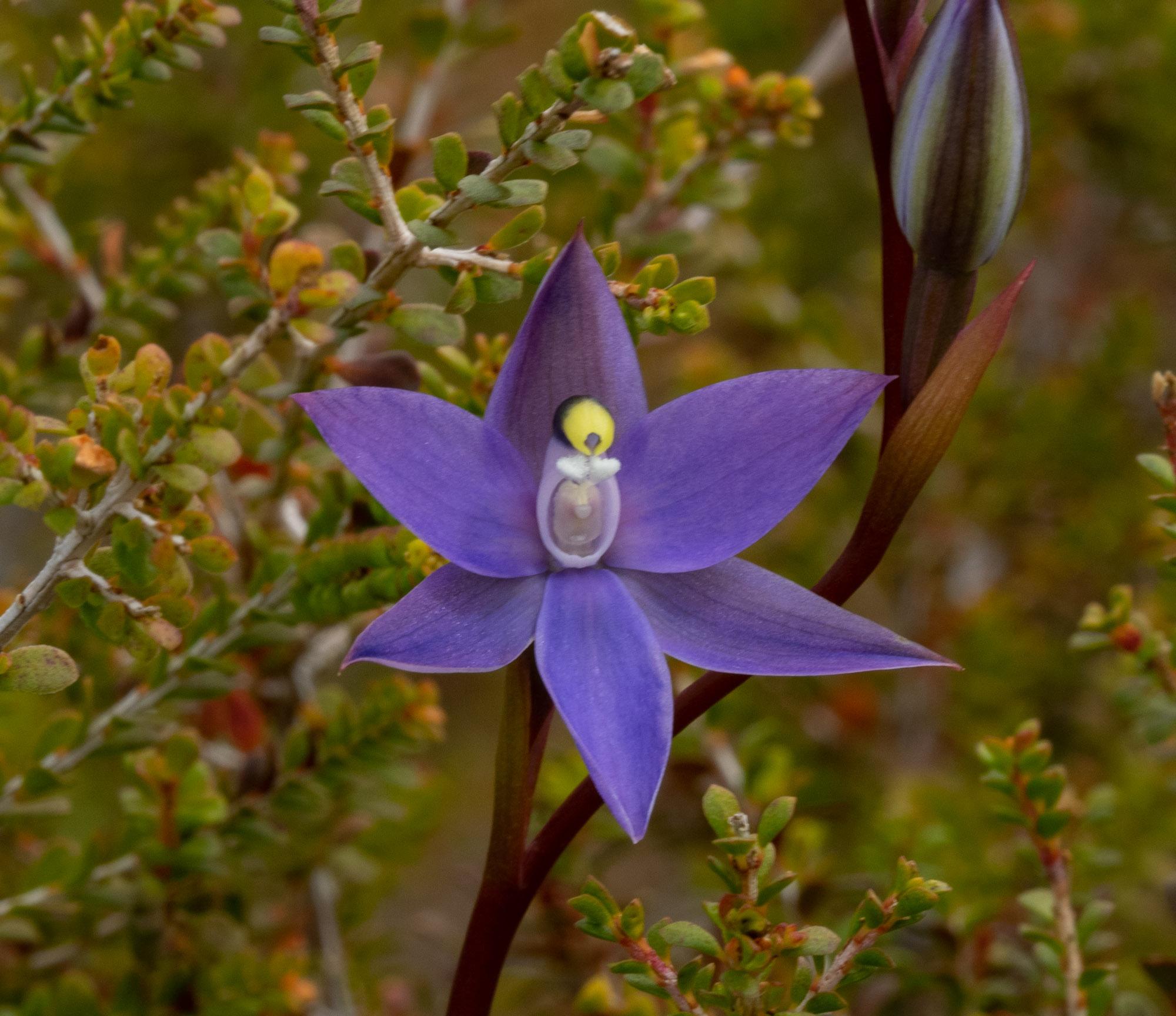 Thelymitra granitora (Coastal Sun Orchid)