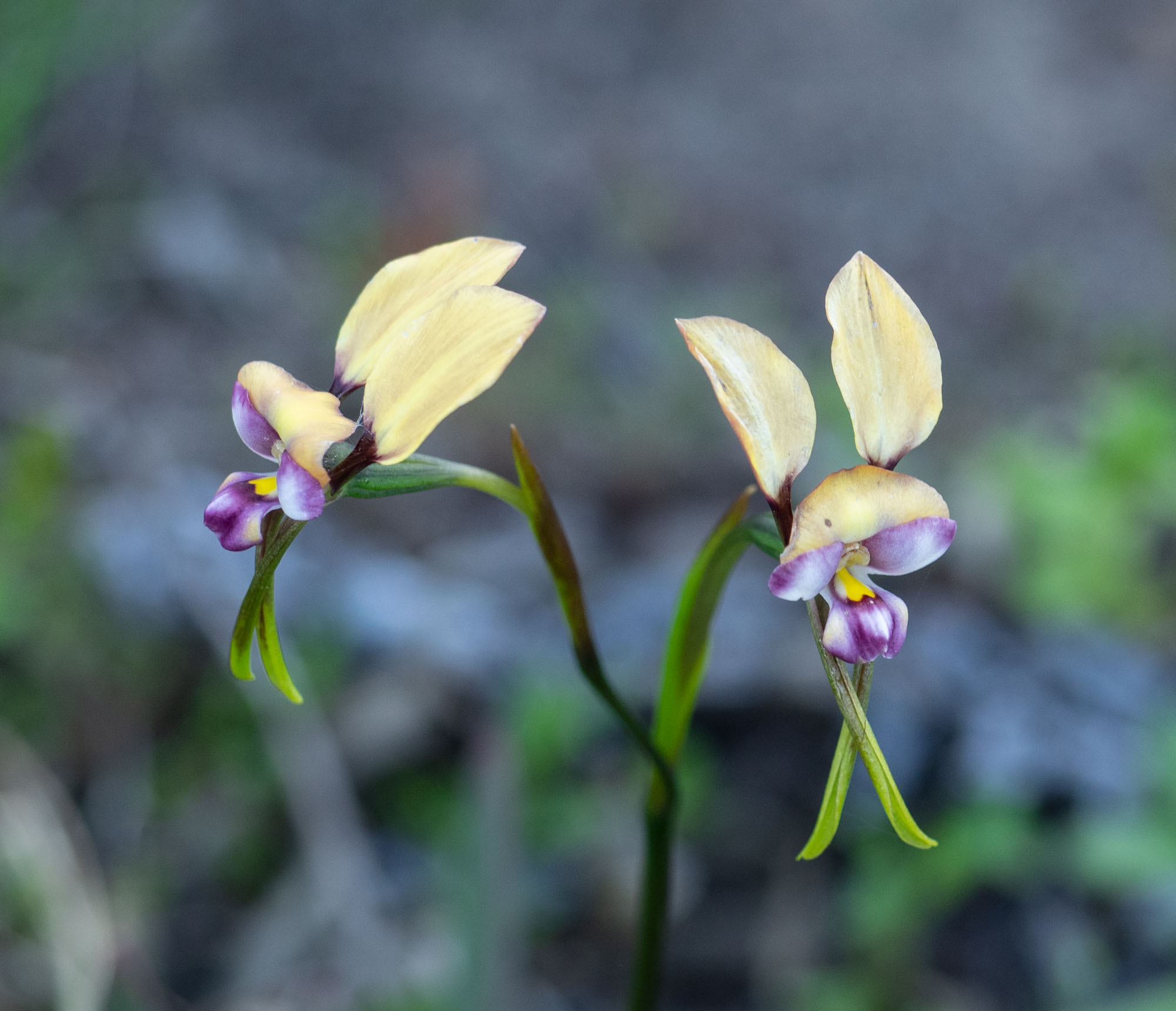 Diurus pulchella (Beautiful Donkey Orchid)