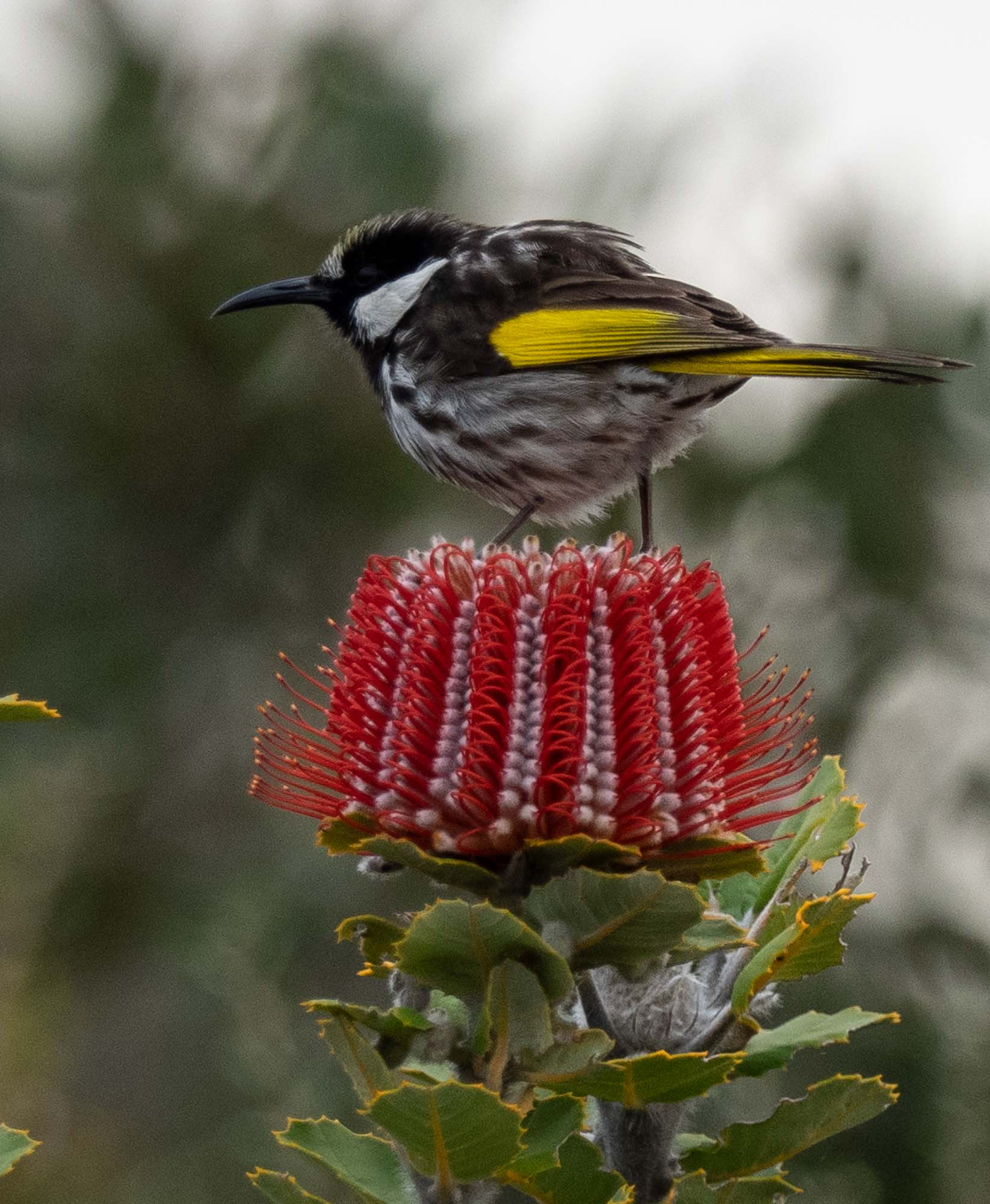 White-cheeked Honeyeater - larger and less common than the incredibly numerous New Holland Honeyeaters