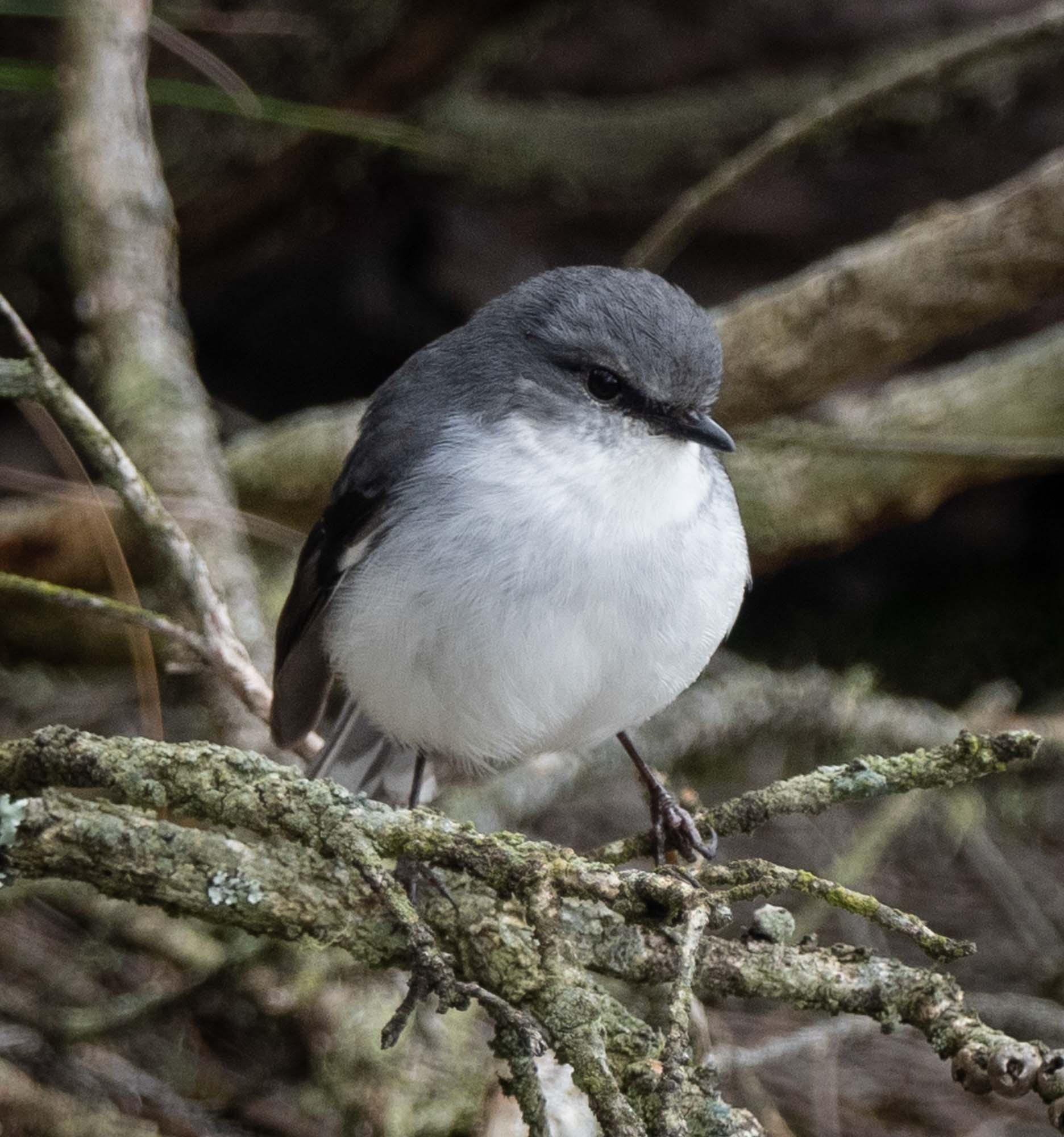 White-breasted Robin - a WA endemic