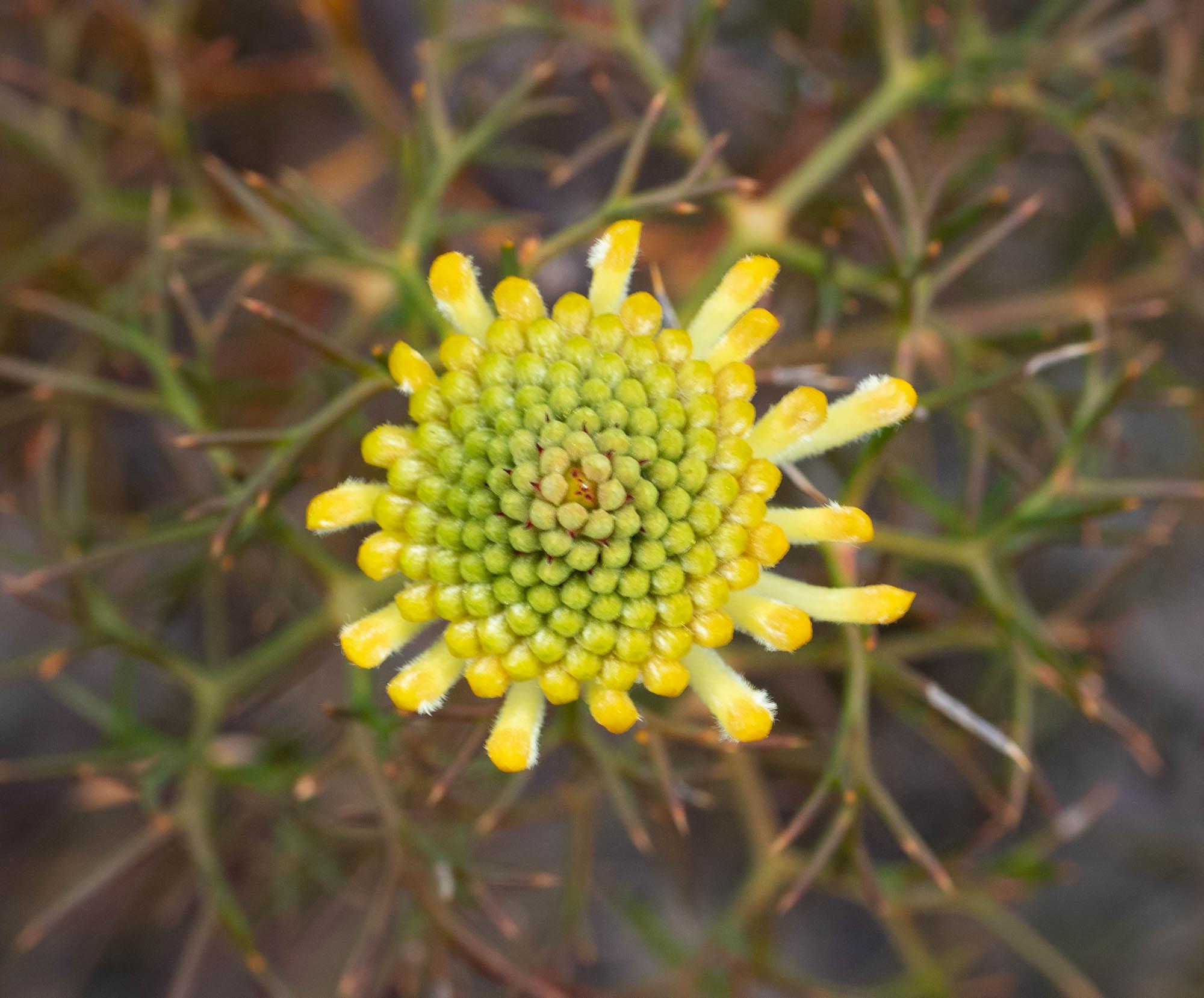 Isopogon teretifolius