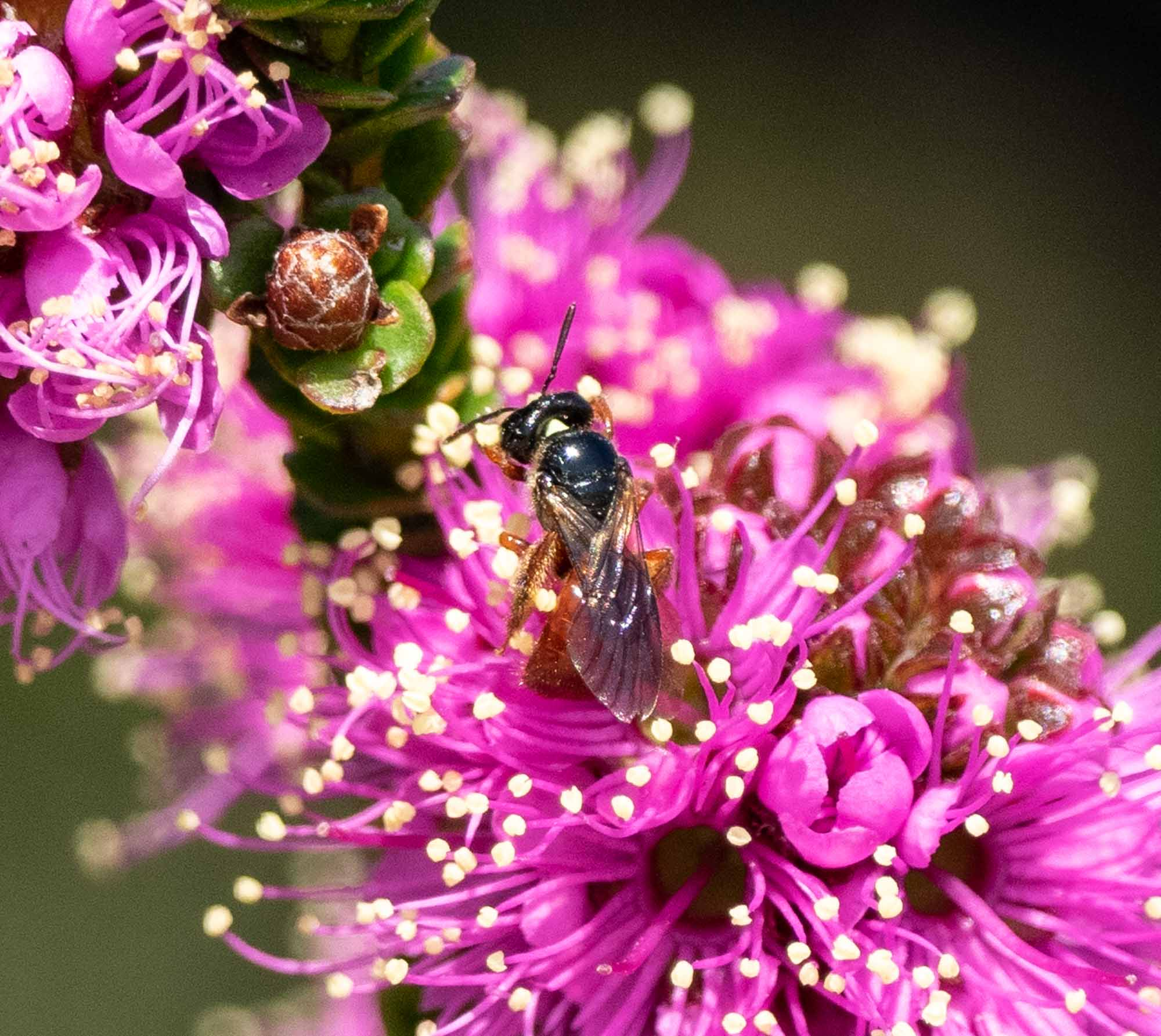 Exoneura (native bee) on Beaufortia micrantha (Little Bottlebrush)