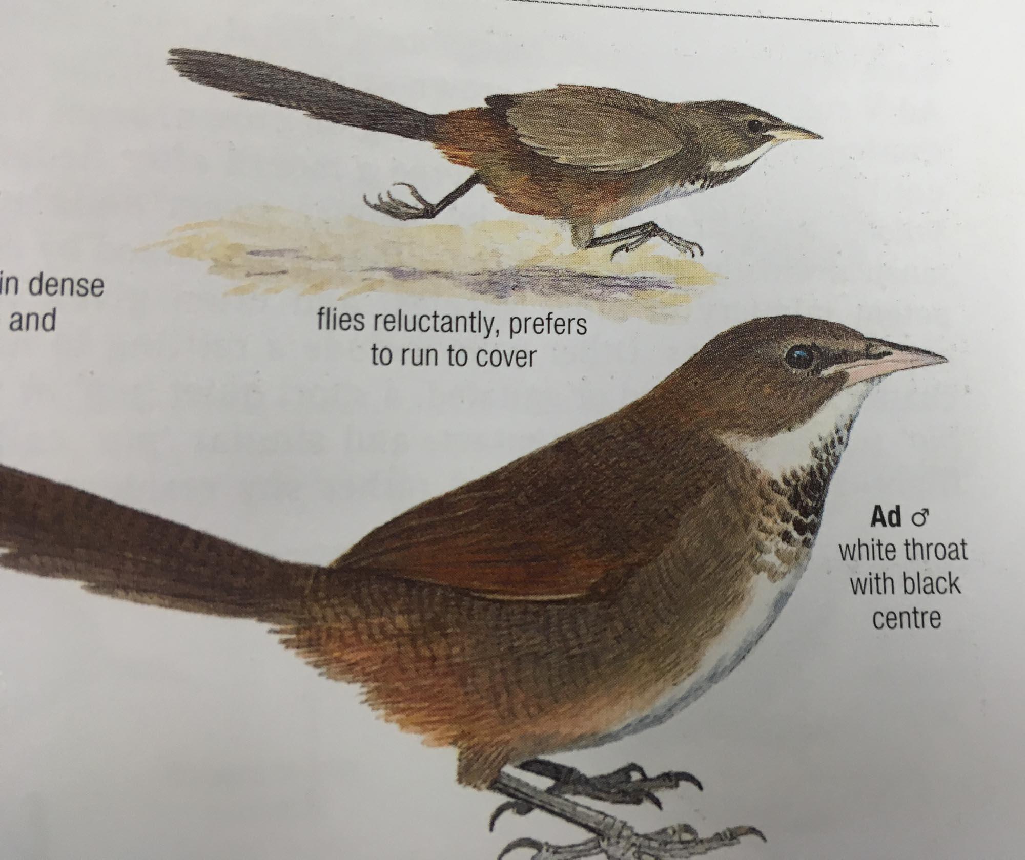 Noisy Scrub-bird