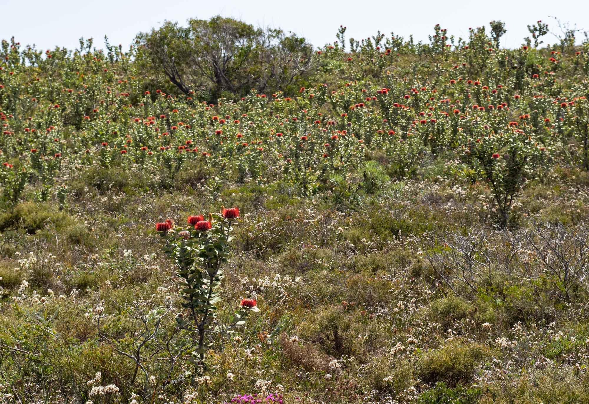 Scarlet Banksias everywhere!