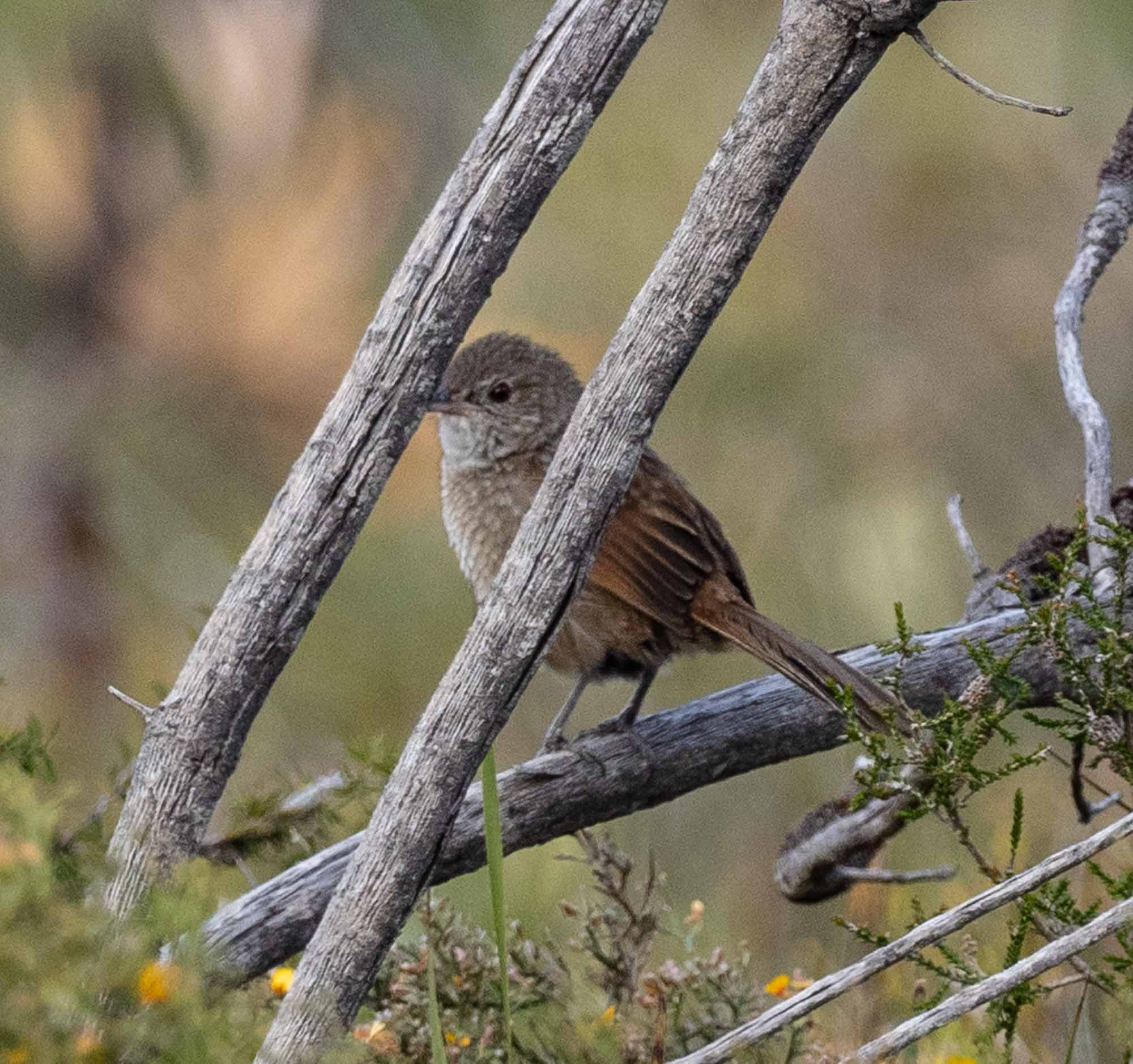 Western Bristlebird sighting #2 - Day 3