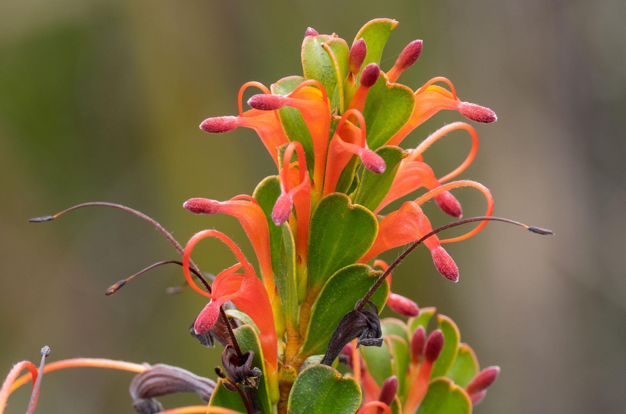 Adenanthos obovata ('Basket Flower')