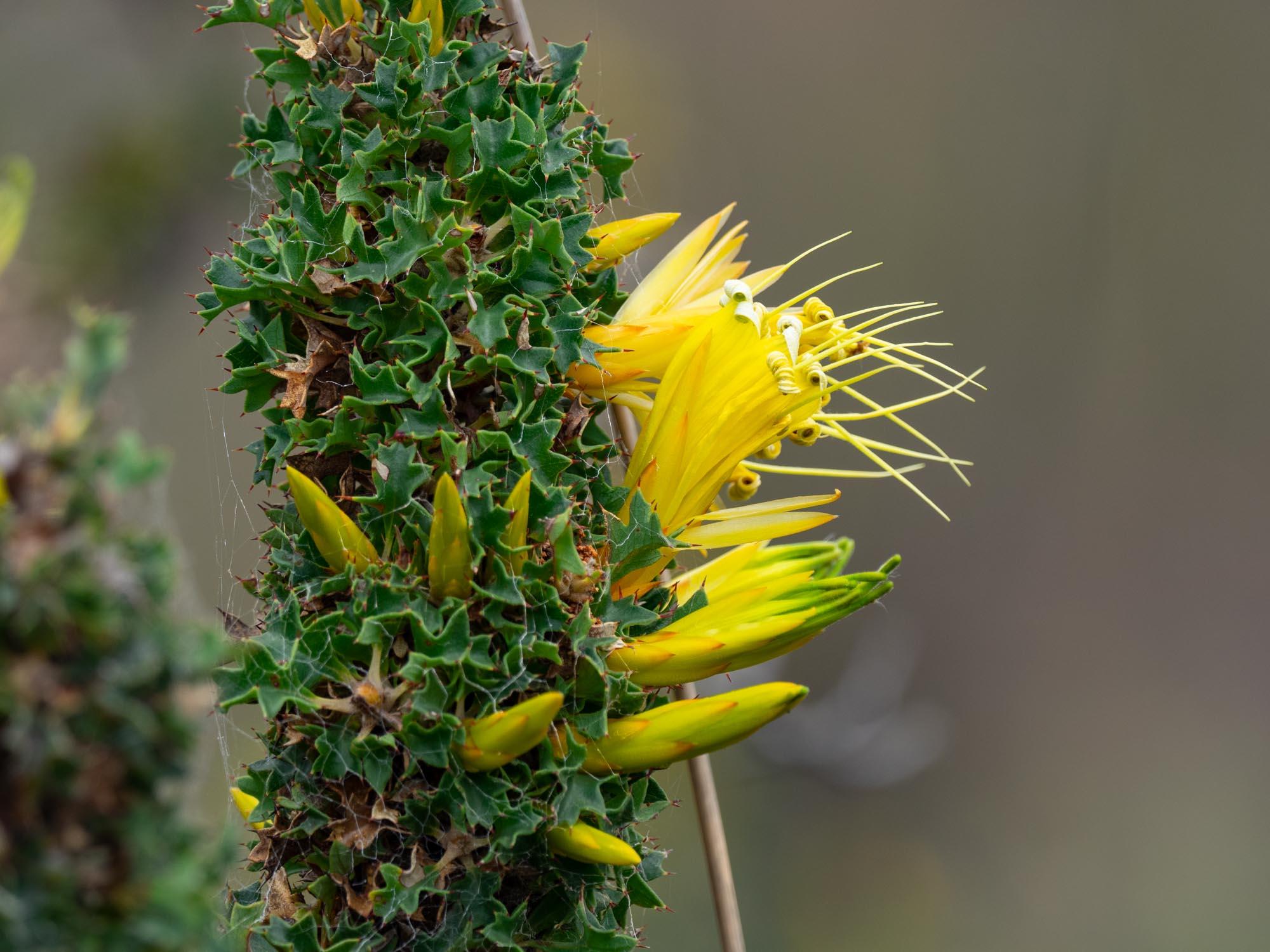 Lambertia echinata ssp. citrina