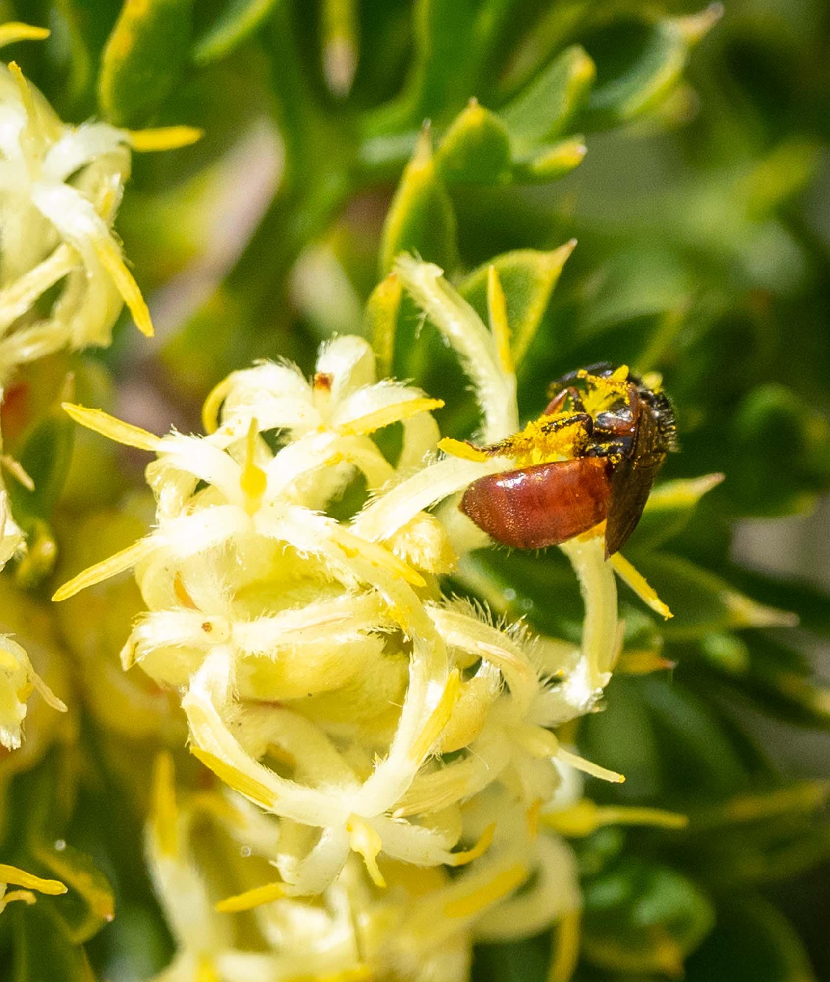 tiny reed bee (Exoneura sp.)
