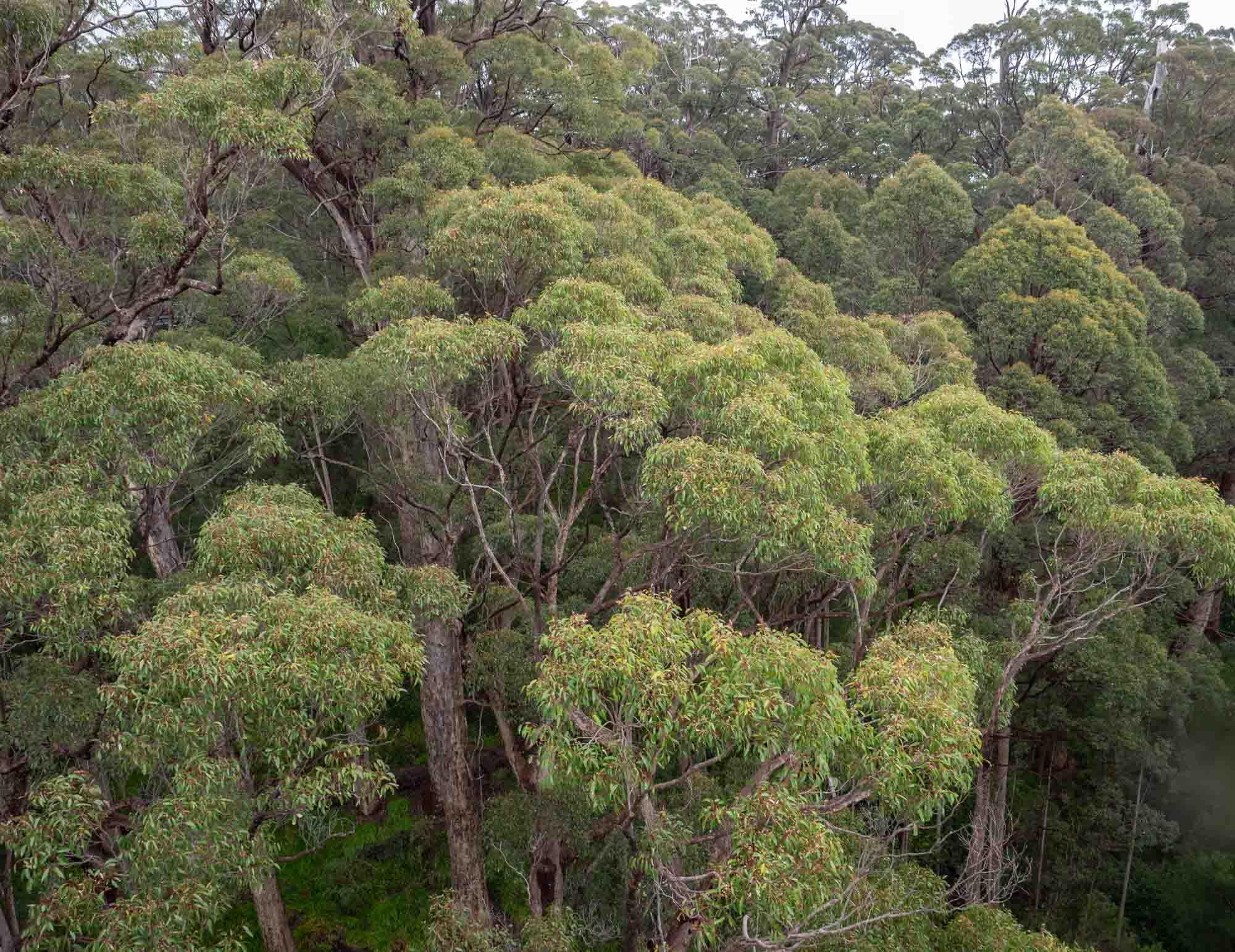 A Western Rosella's eye view of the forest.