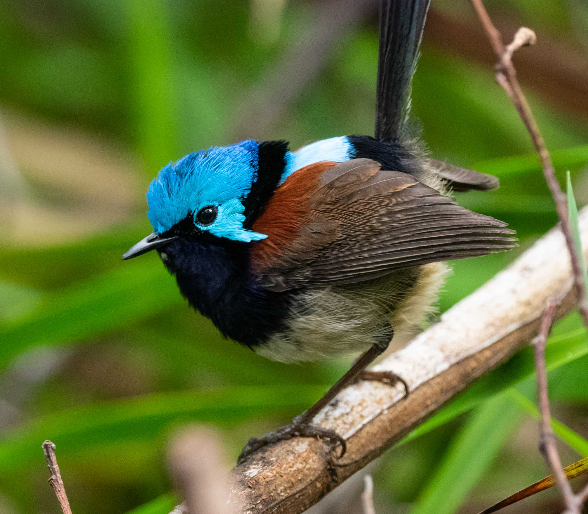 Male in full breeding plumage