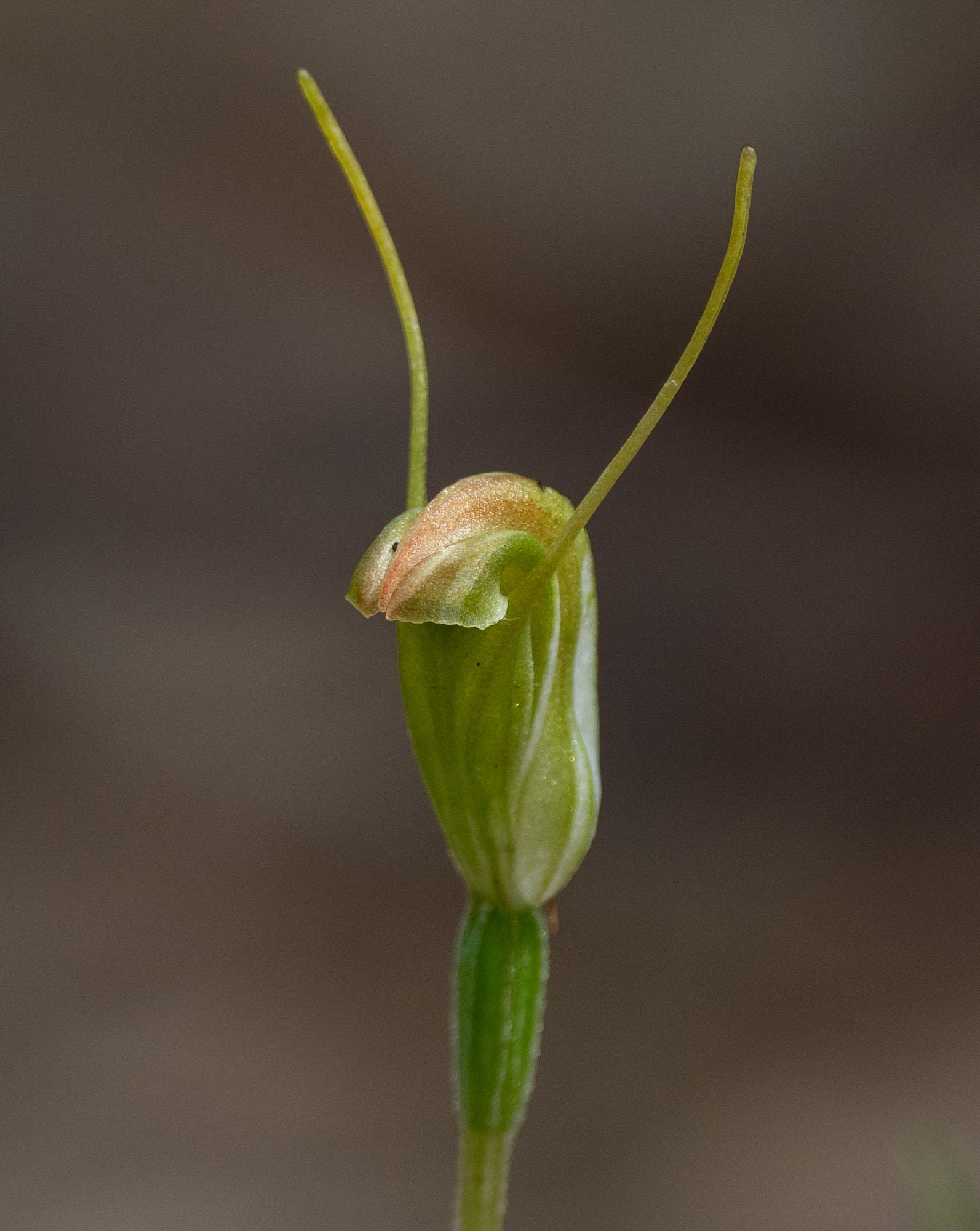 Pterostylis sp., Greenhood