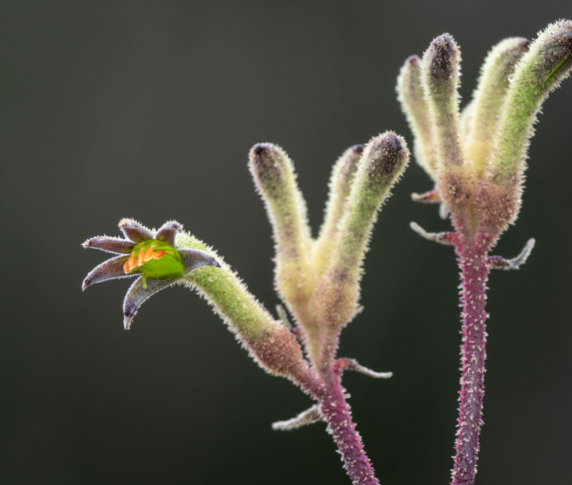 Anizoganthos flavidus, Tall Kangaroo Paw