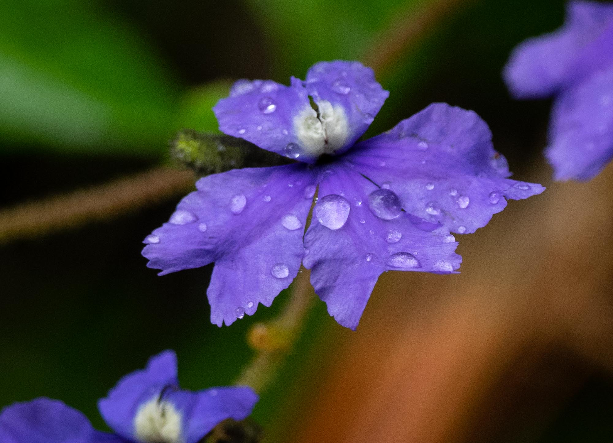 Dampiera hederacea, Karri Dampiera