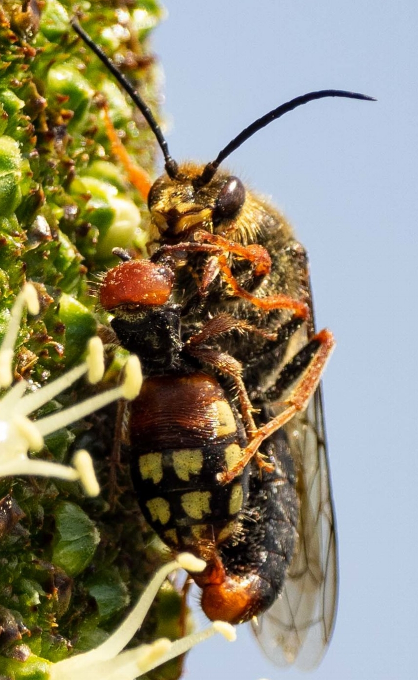 Mating flower wasps from  an earlier post , at Cheynes Beach - not sure which species of wasp this is … yet!