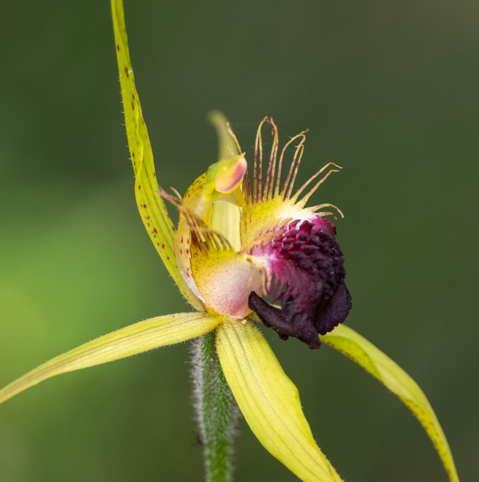 Scotts River Orchid - many, although most starting to age