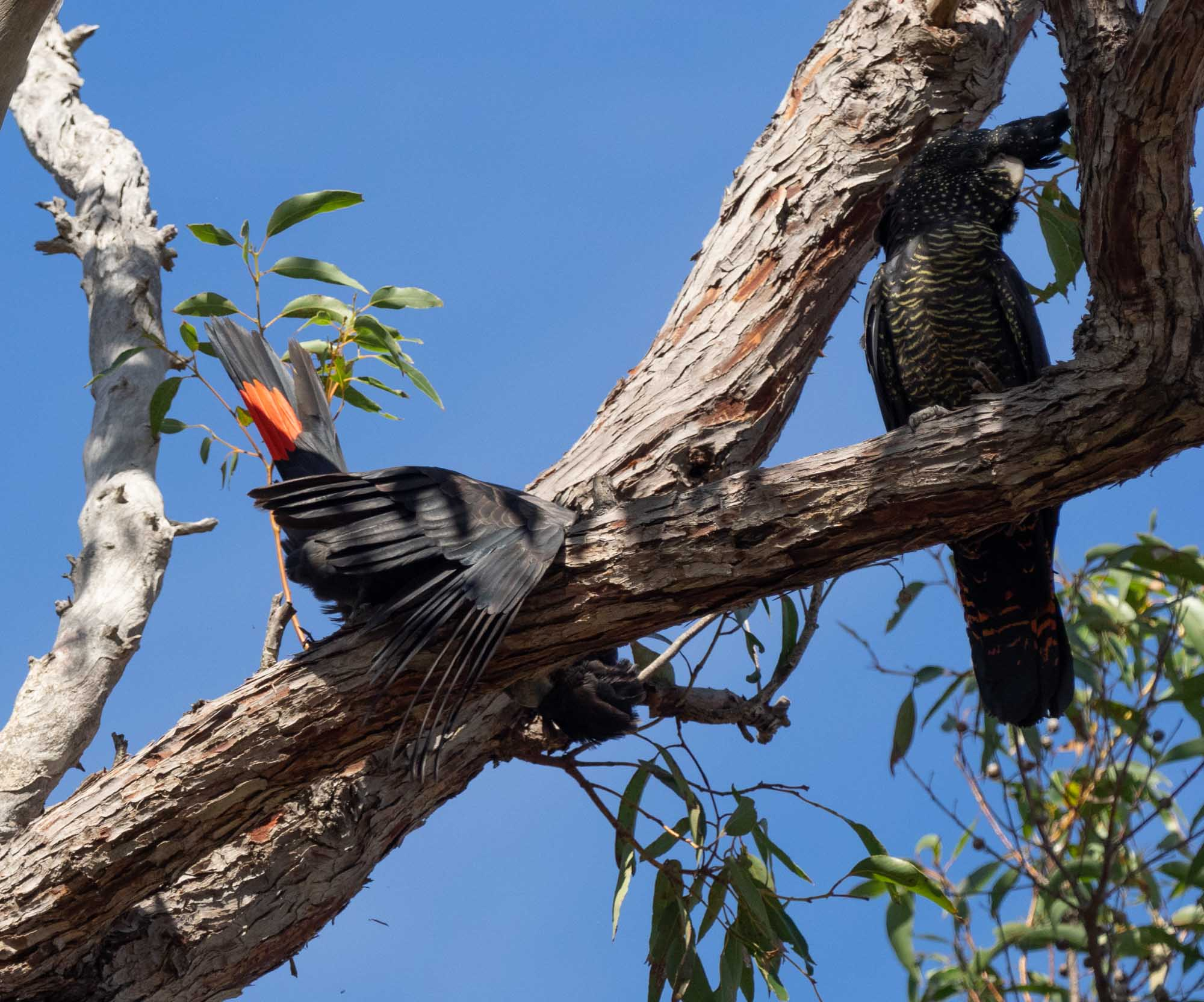 The male (left) flares his tail in what is clearly a deliberate communication directed at the female (right)