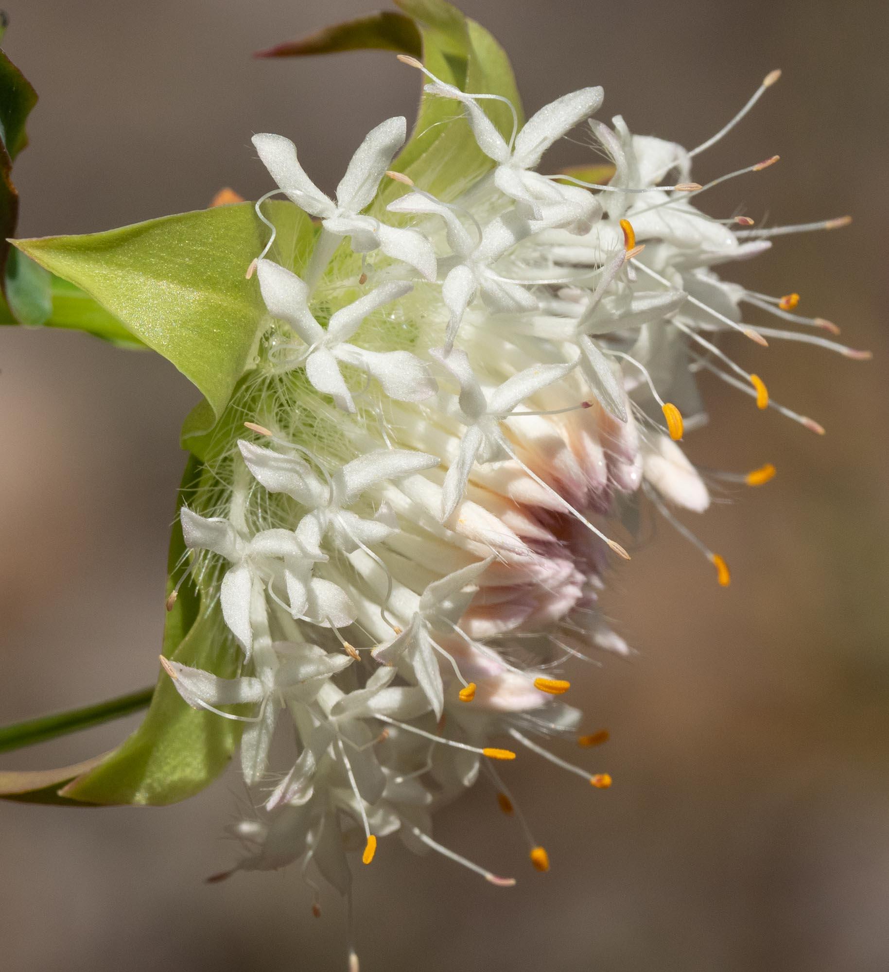 Pimelea lehmanniana, Mountain Banjine