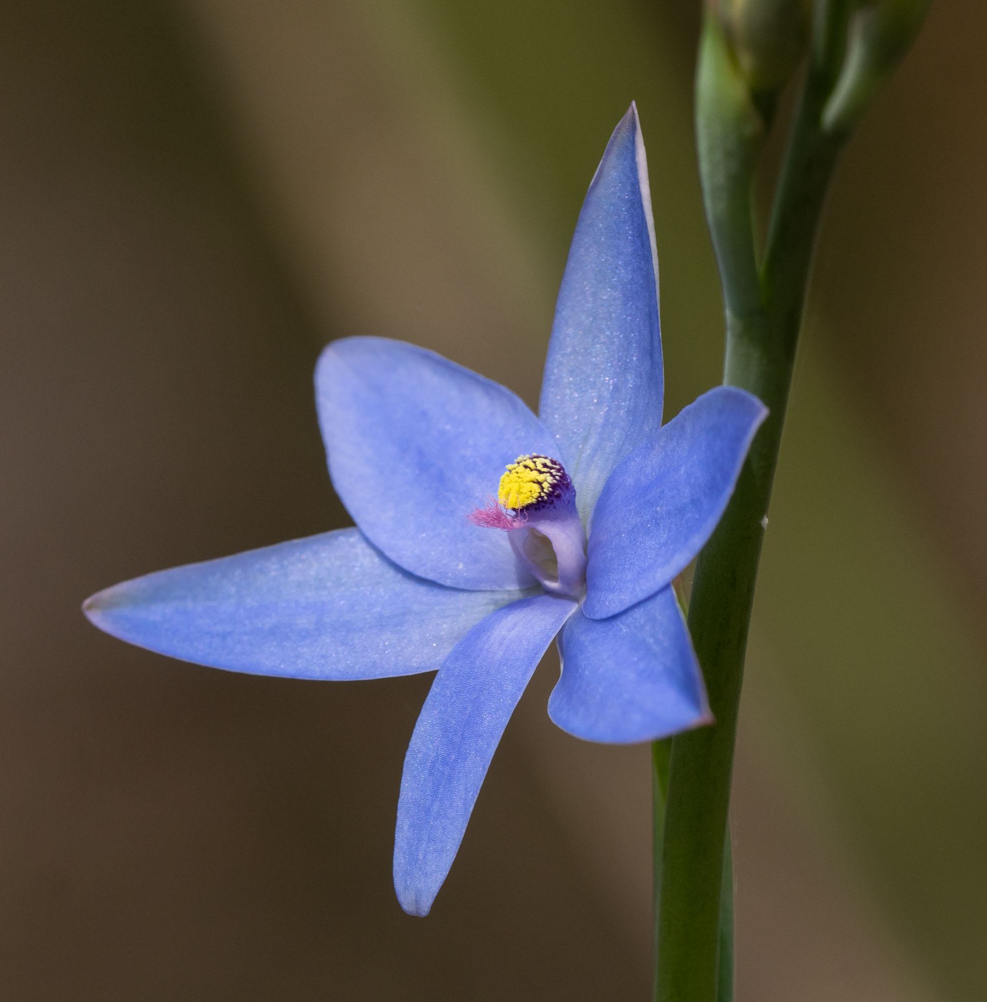 Thelymitra crinita, Blue Lily Orchid