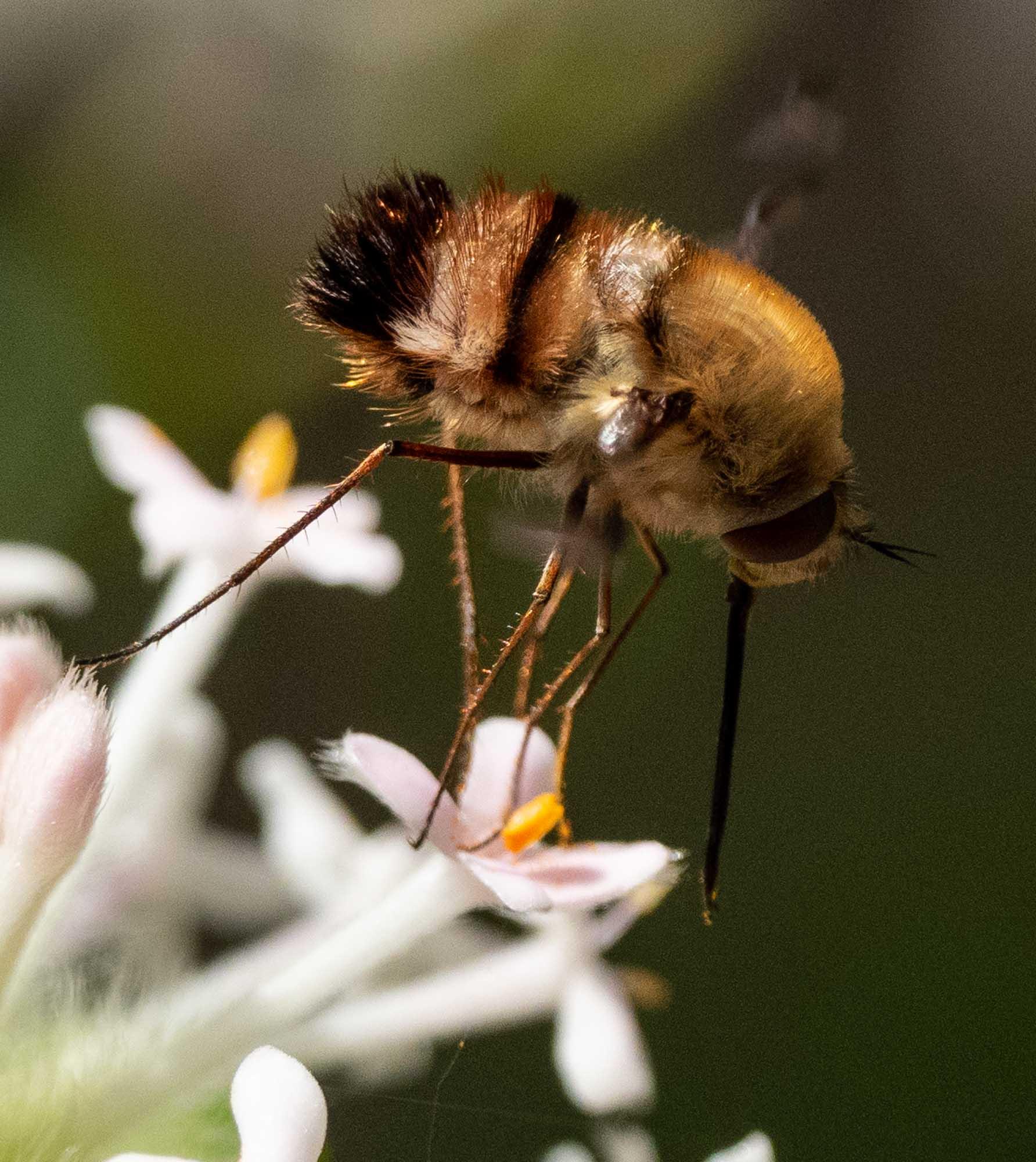 many bee flies probed the Pimelea
