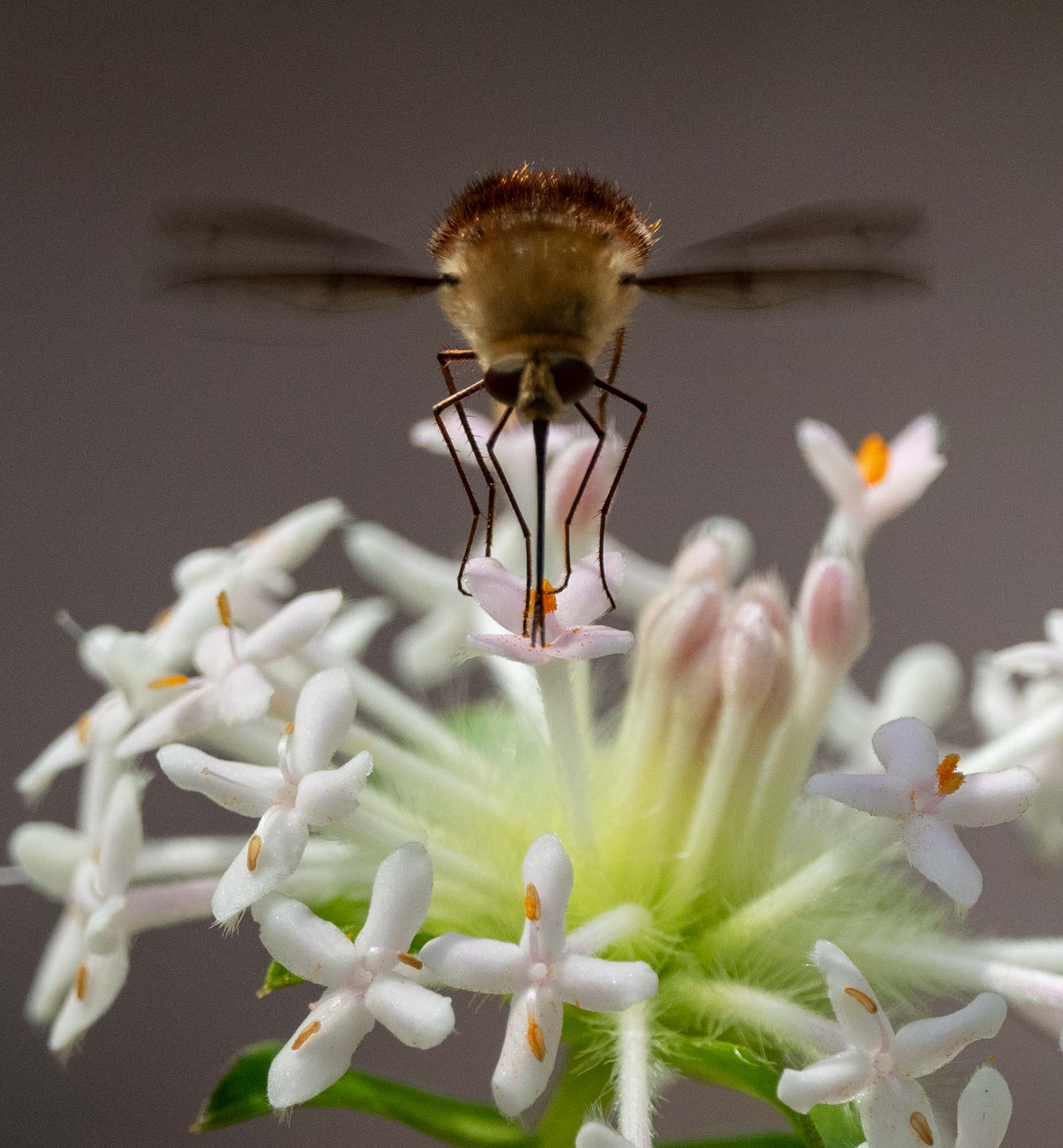 long legs and long proboscis of the bee fly