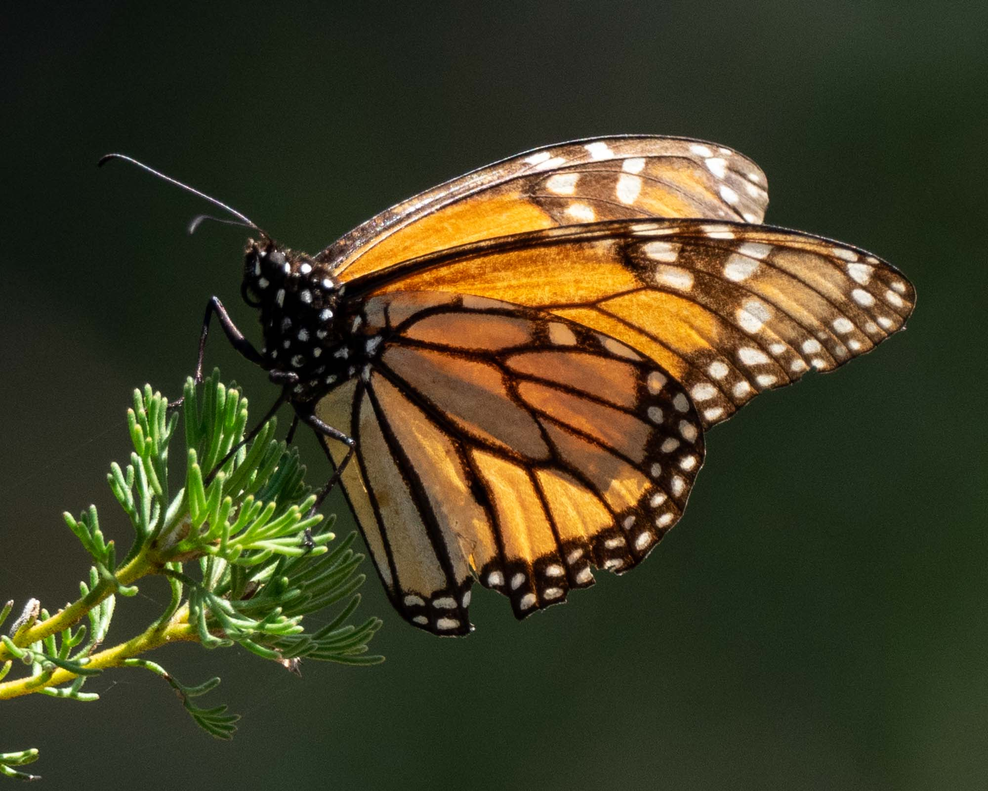 a lone Wanderer, and our first real butterfly sighting! (Danaus plexippus)