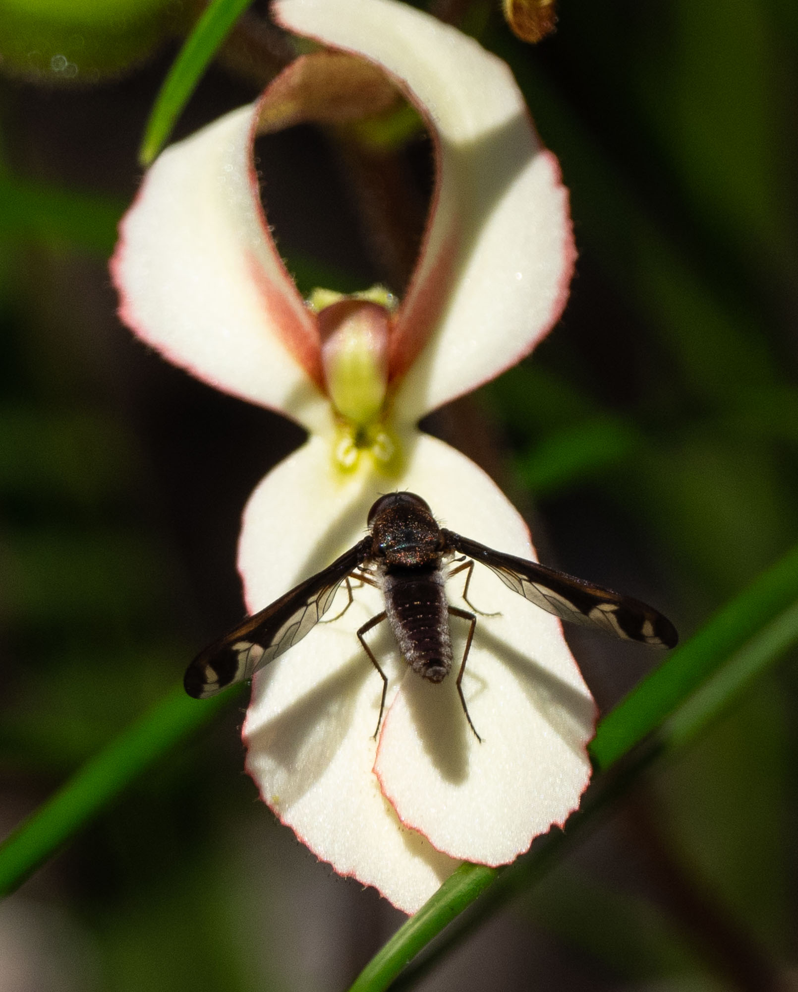 another bee fly, and this one likely to help pollinate the Stylidium (Trigger Plant)