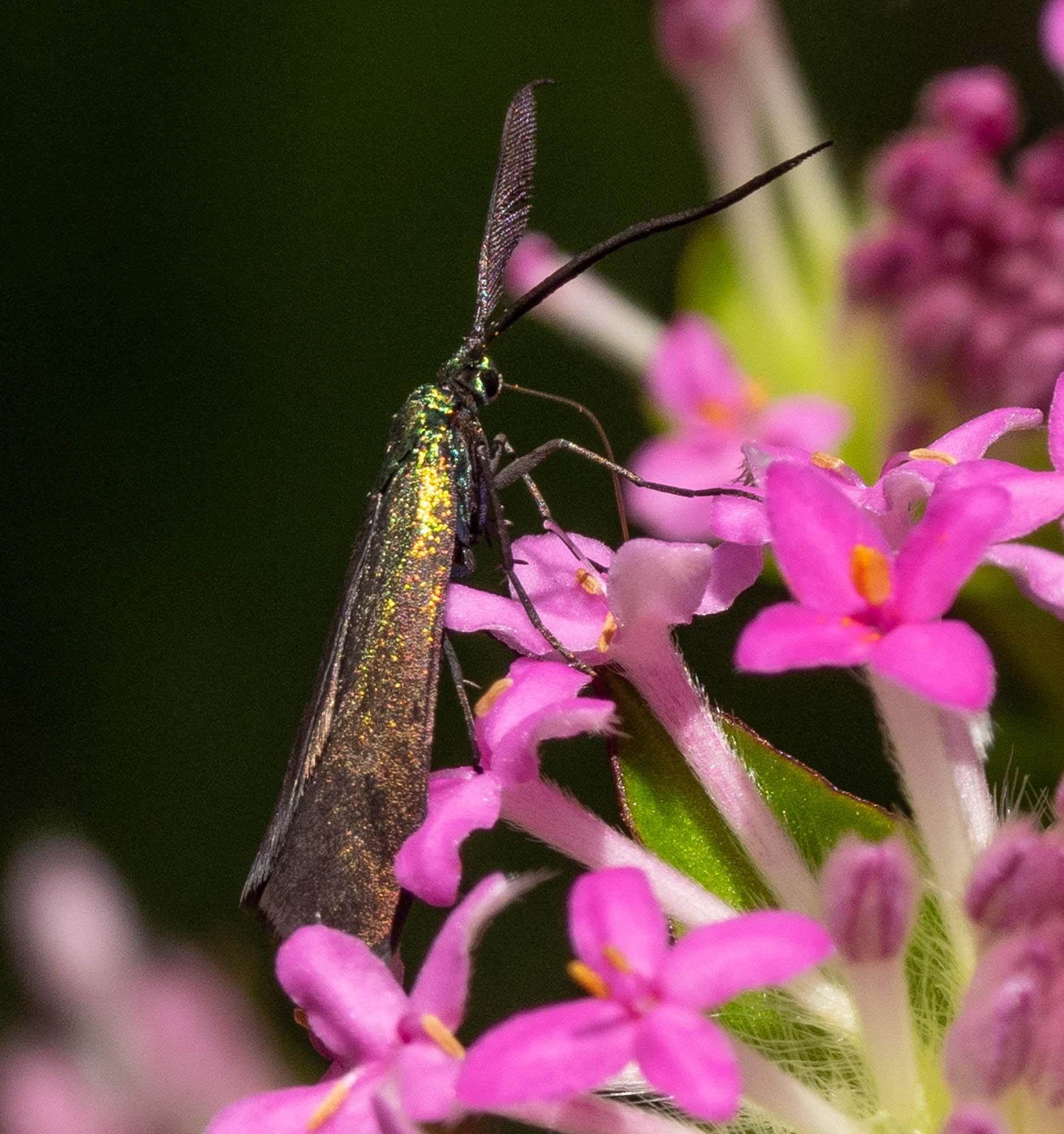 these darkly metallic moths were everywhere