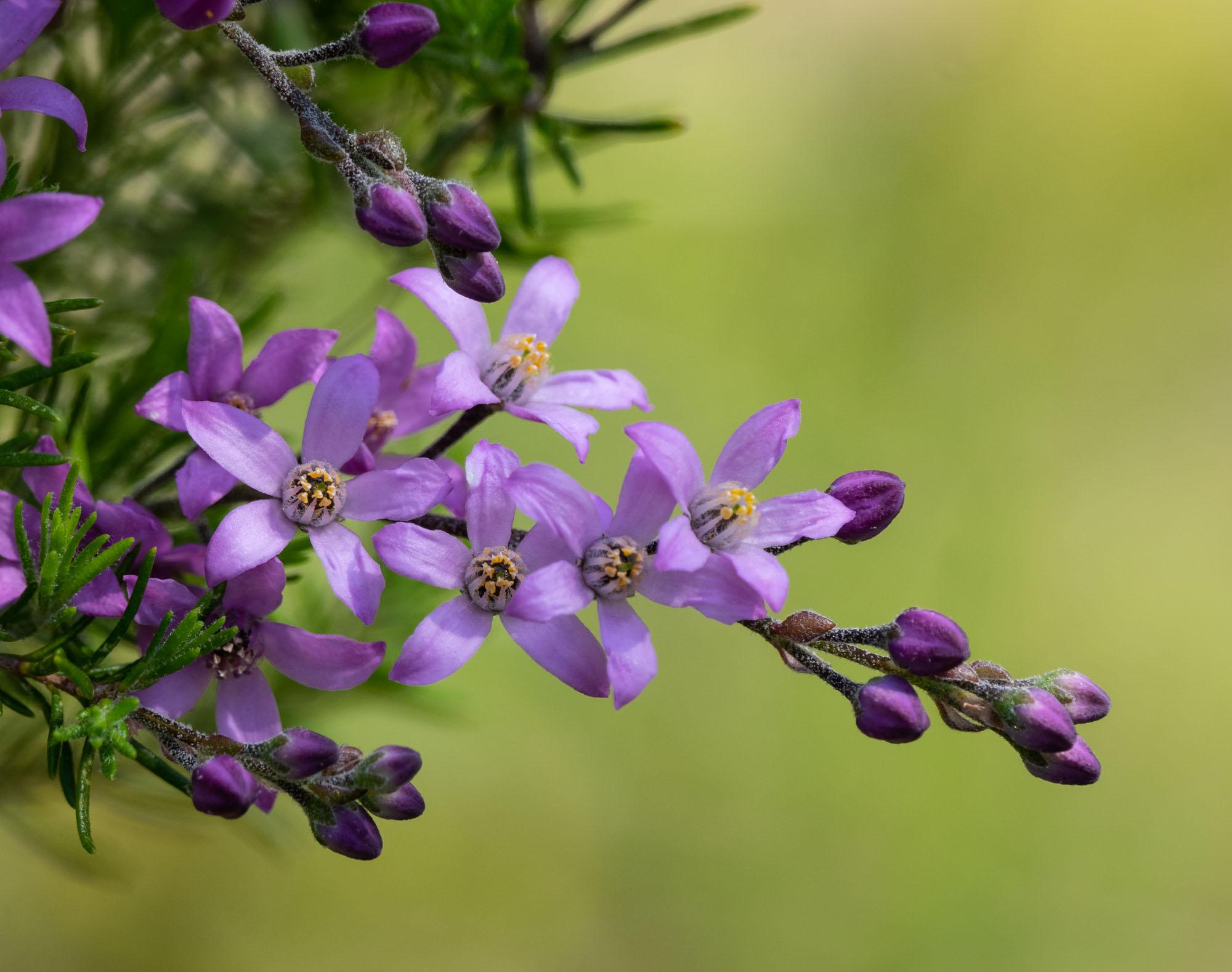 Philotheca nodiflora, Blue Pepper and Salt