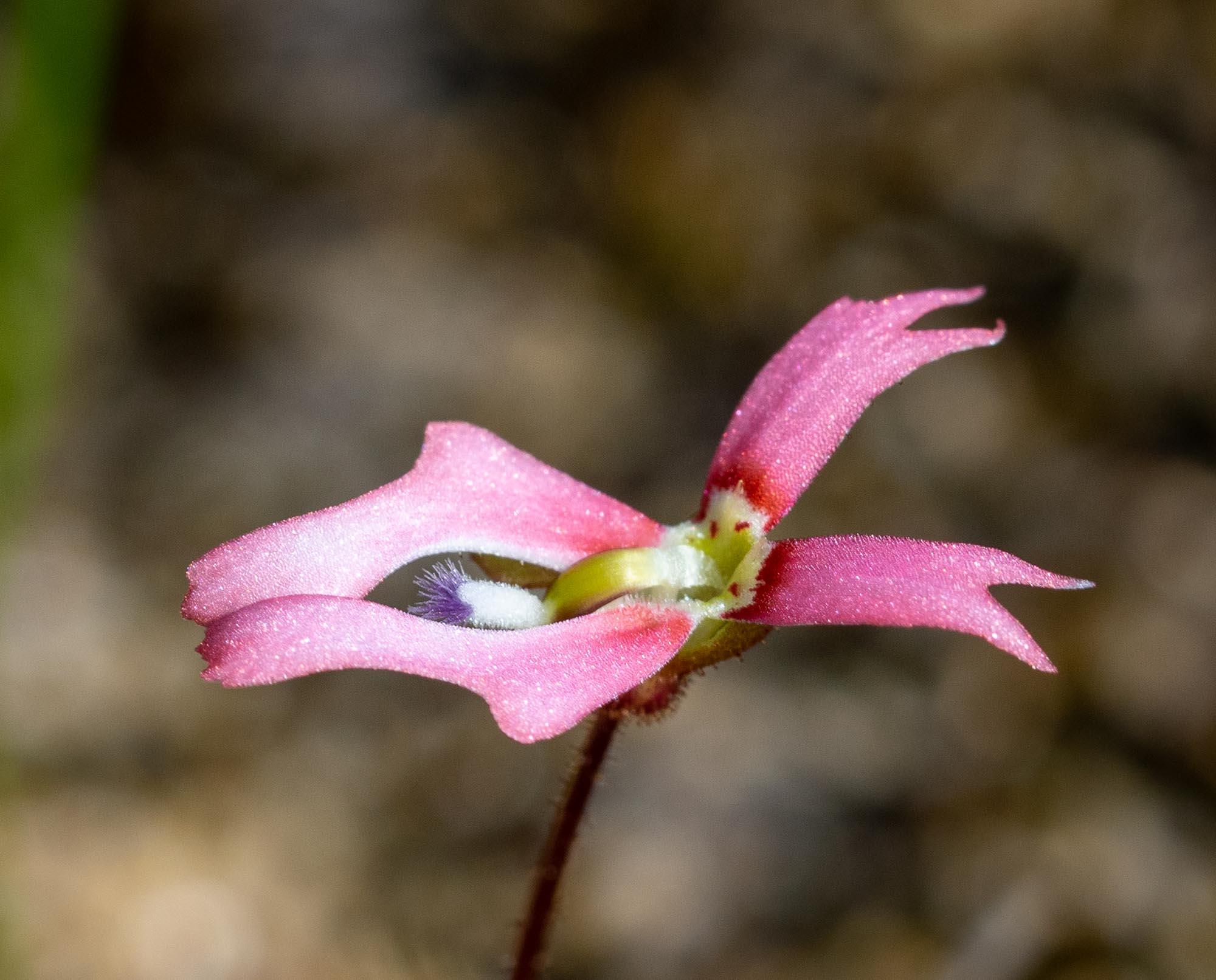 Stylidium calcaratum, Book Trigger Plant