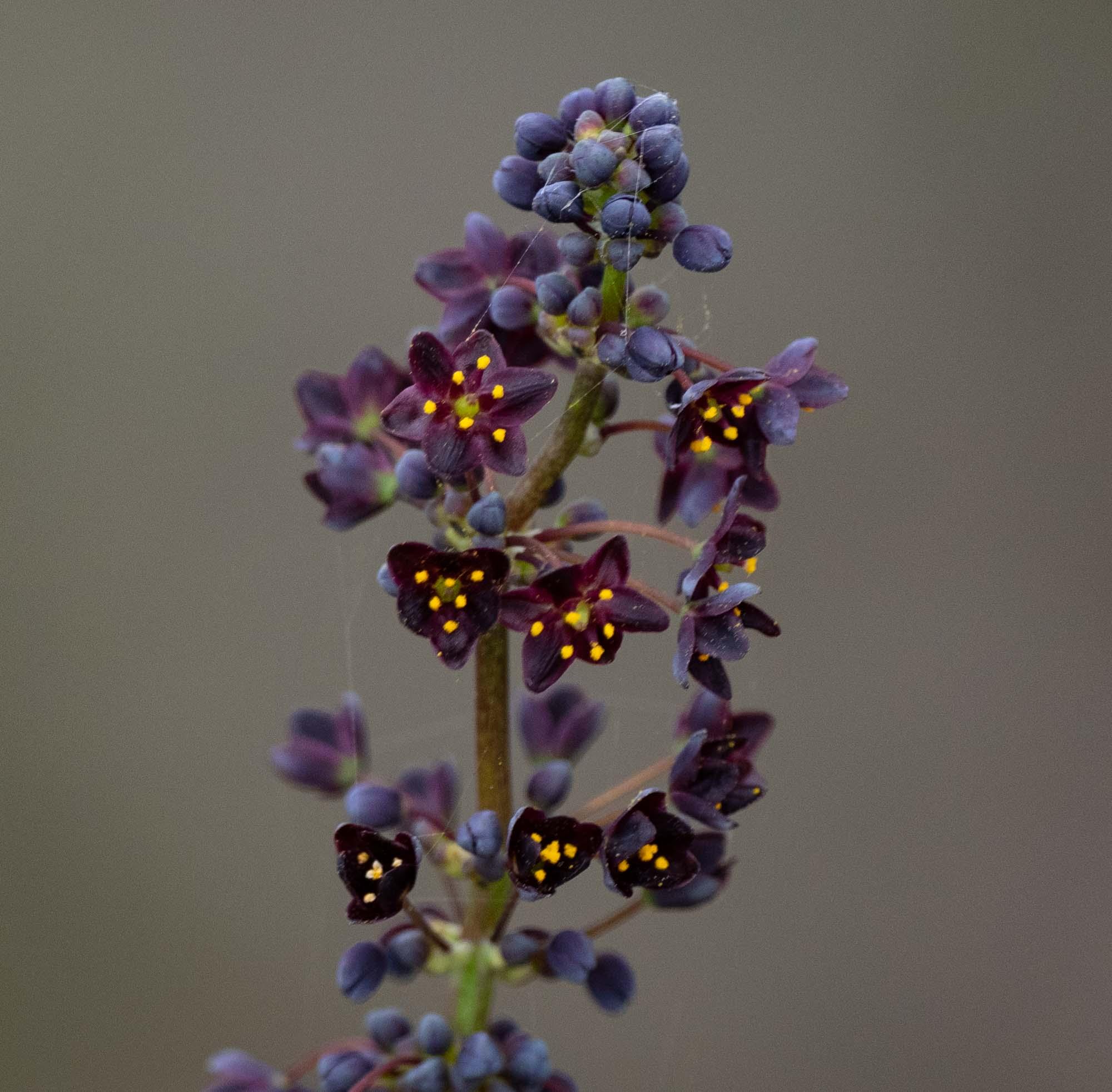 Lomandra purpurea, Purple Mat Rush