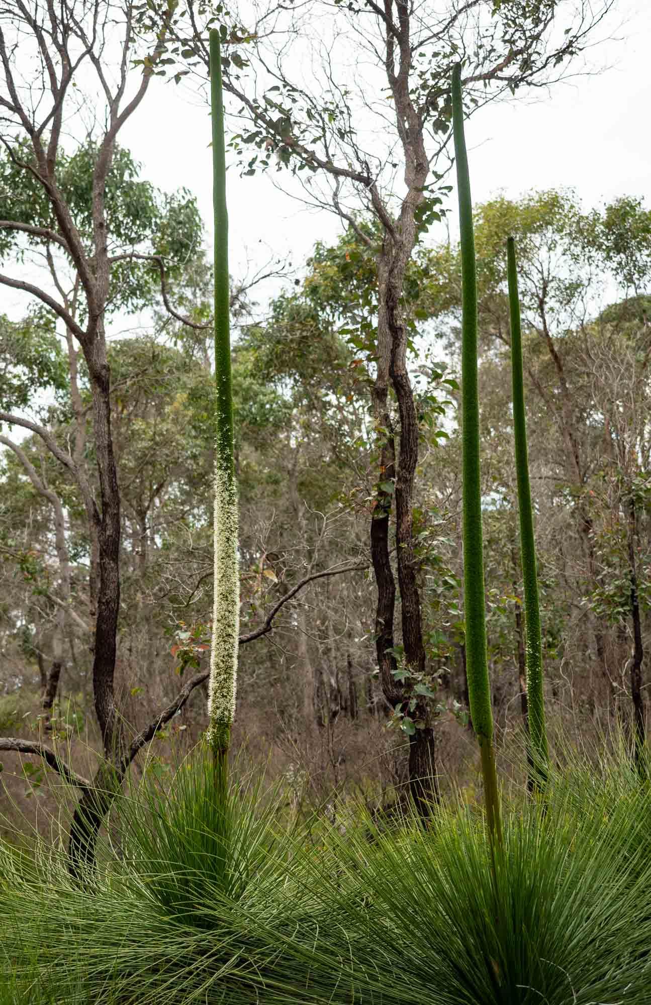 Xanthorrhoea preisii, Grass Tree