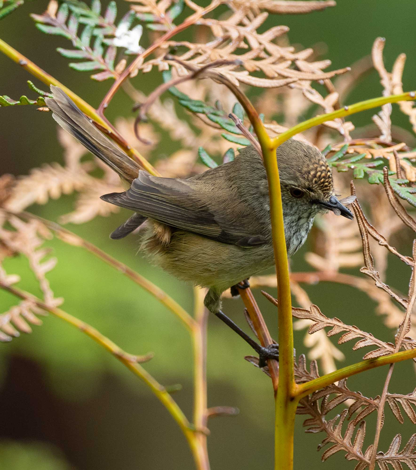 Inland Thornbill - beak full of food for its young