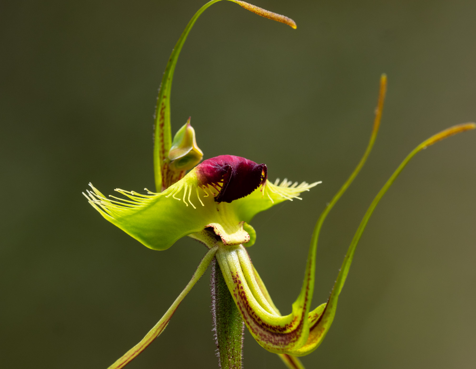 Butterfly Orchid - another