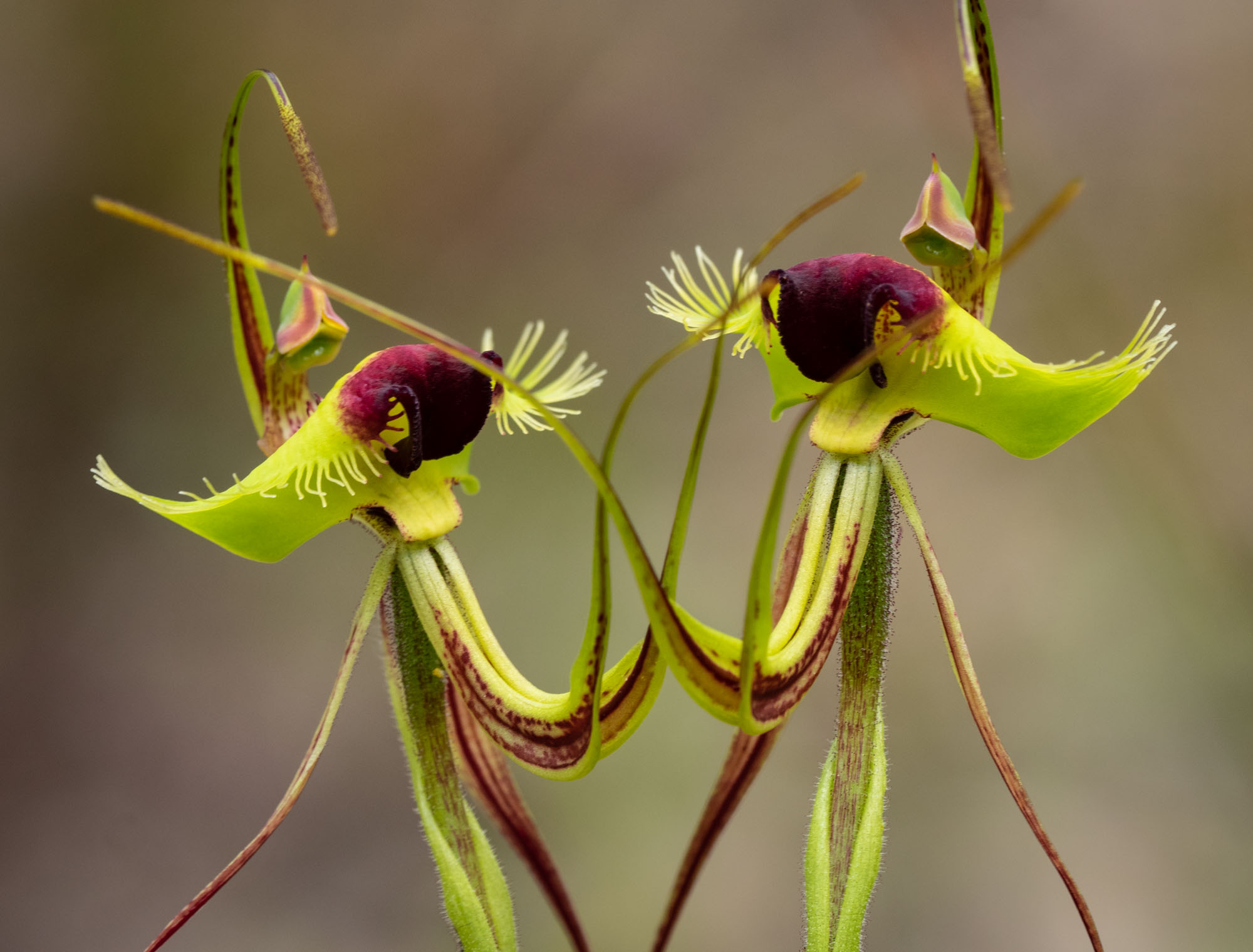 Butterfly Orchids - still more!