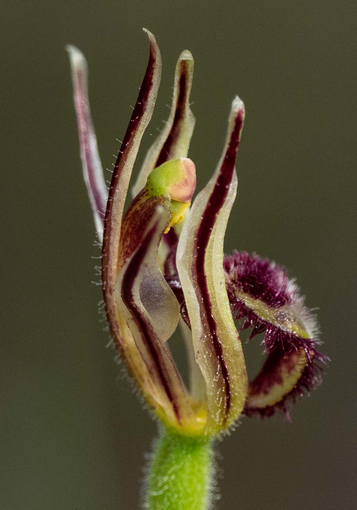 Dragon Orchid