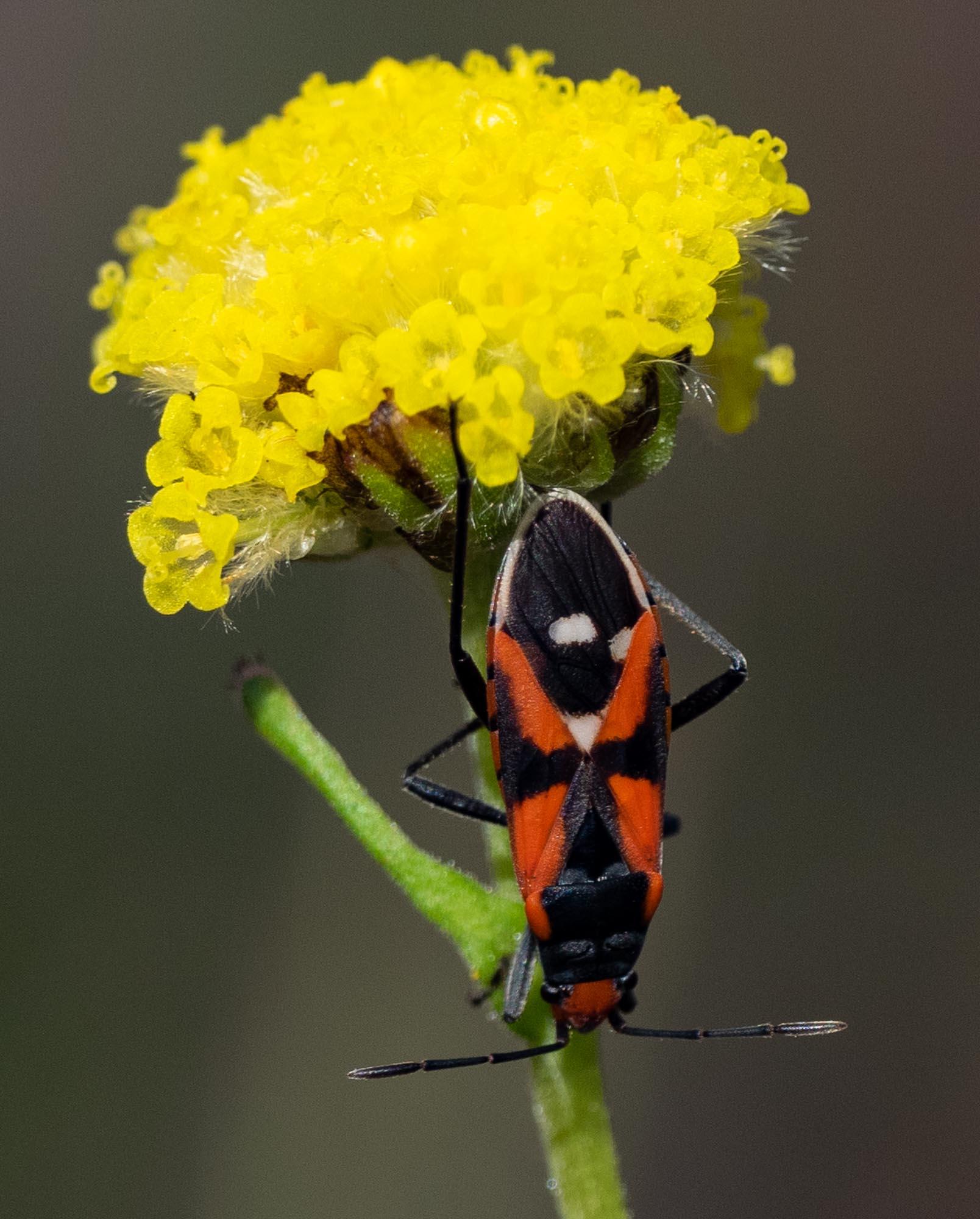 a sap-sucking bug