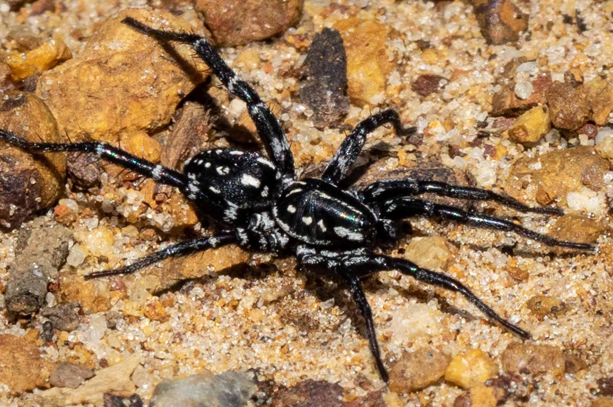 a Swift Spider