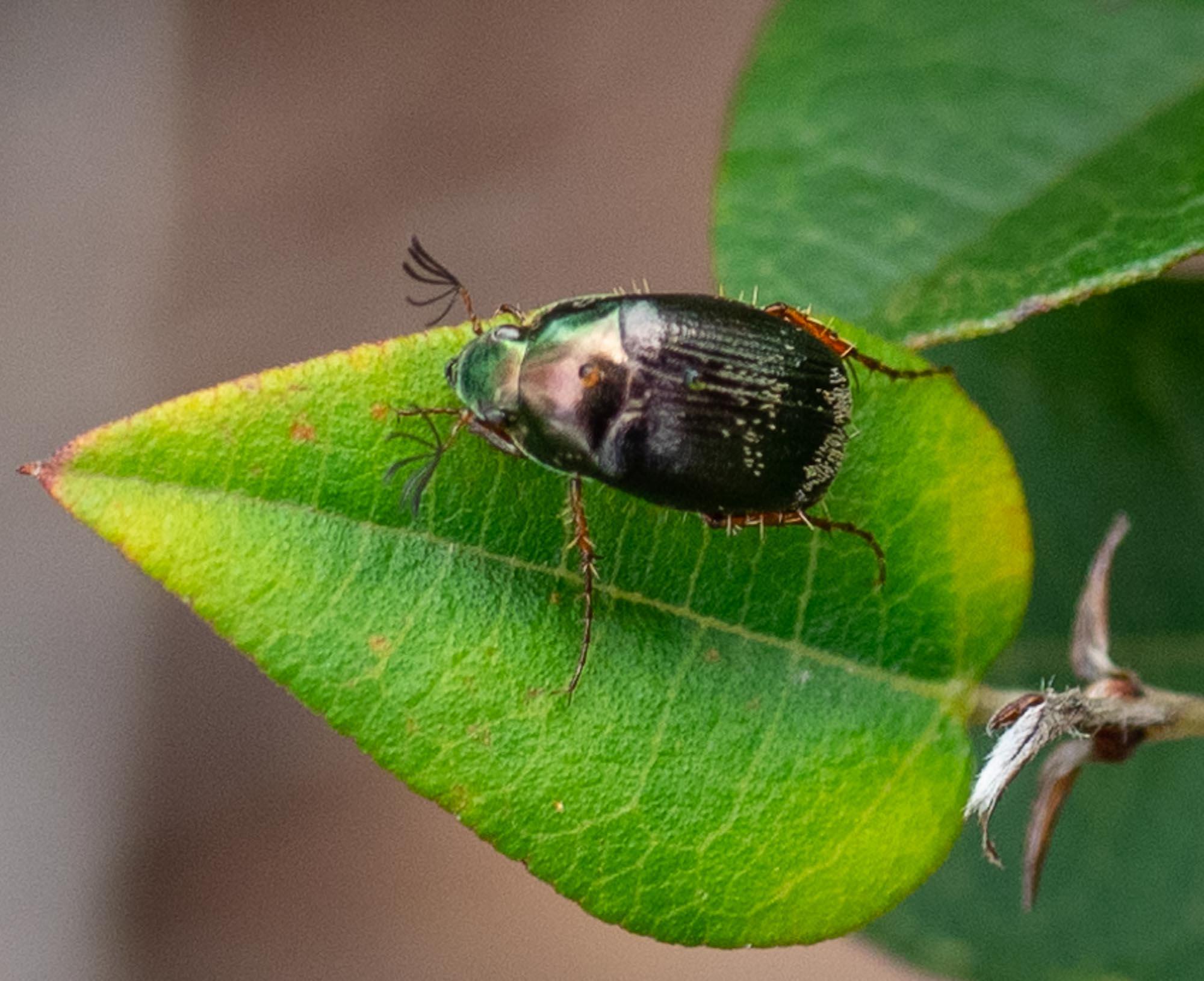 a leaf-eating beetle
