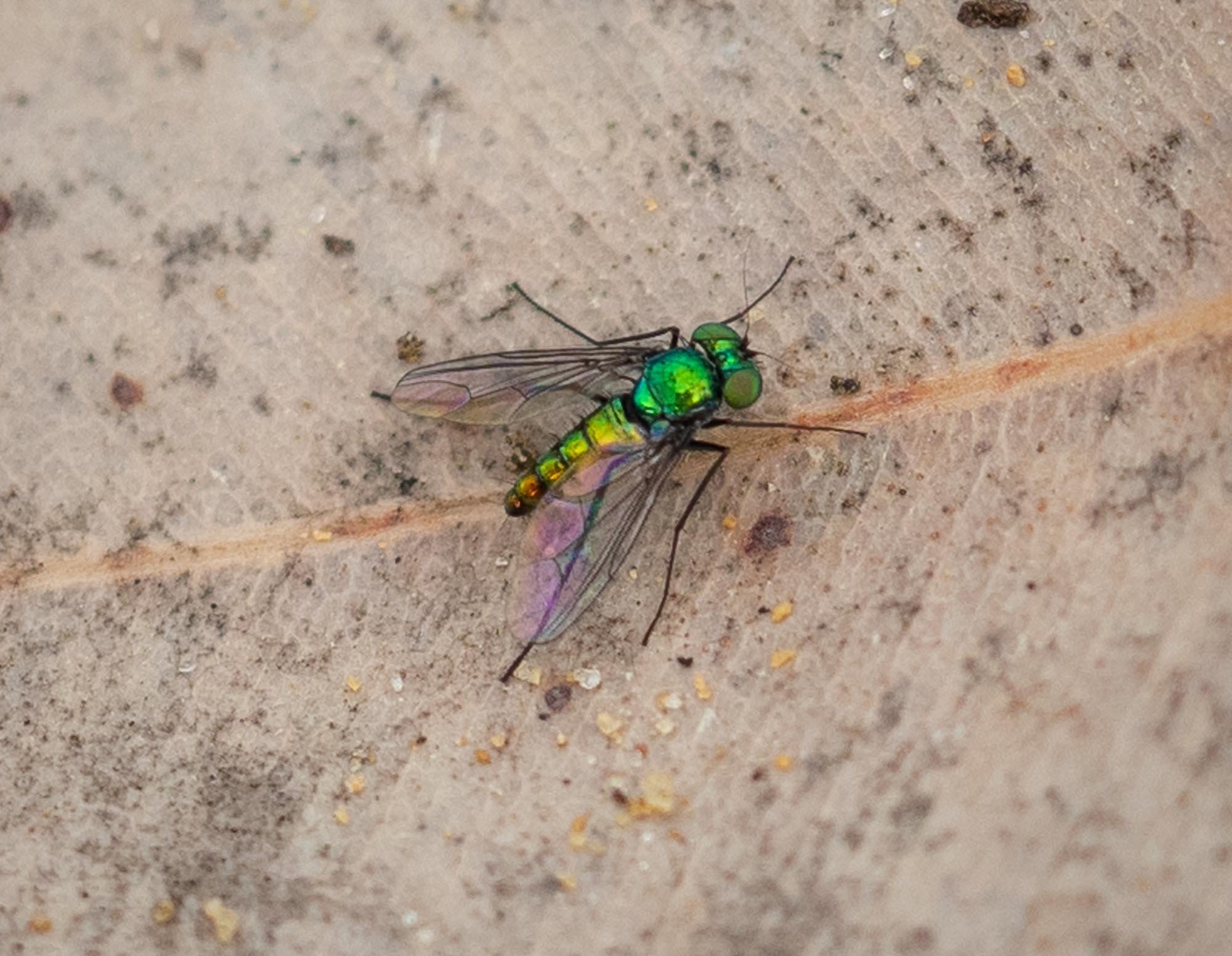 a tiny, 'long-legged fly'