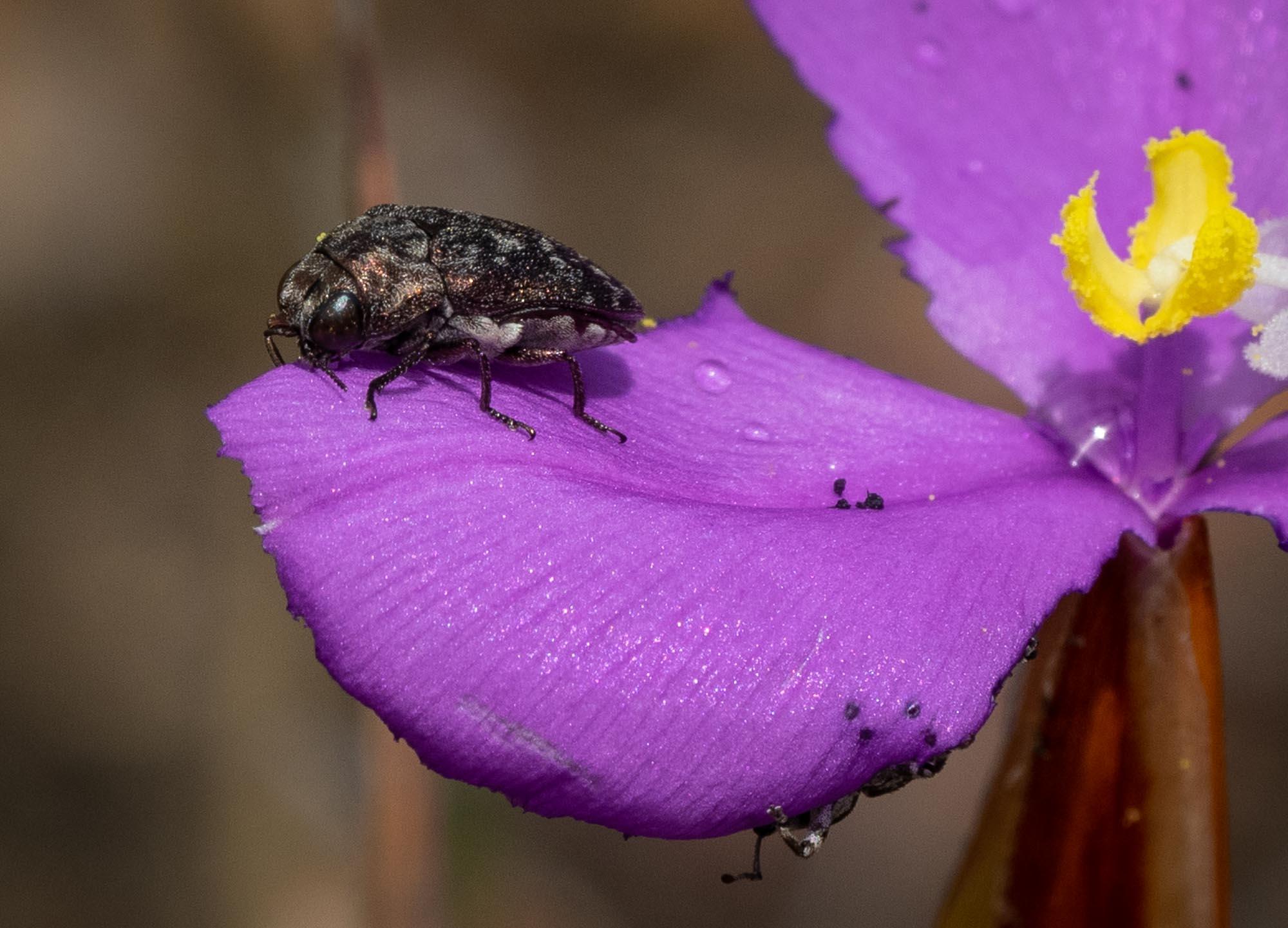 more flower-chomping beetles