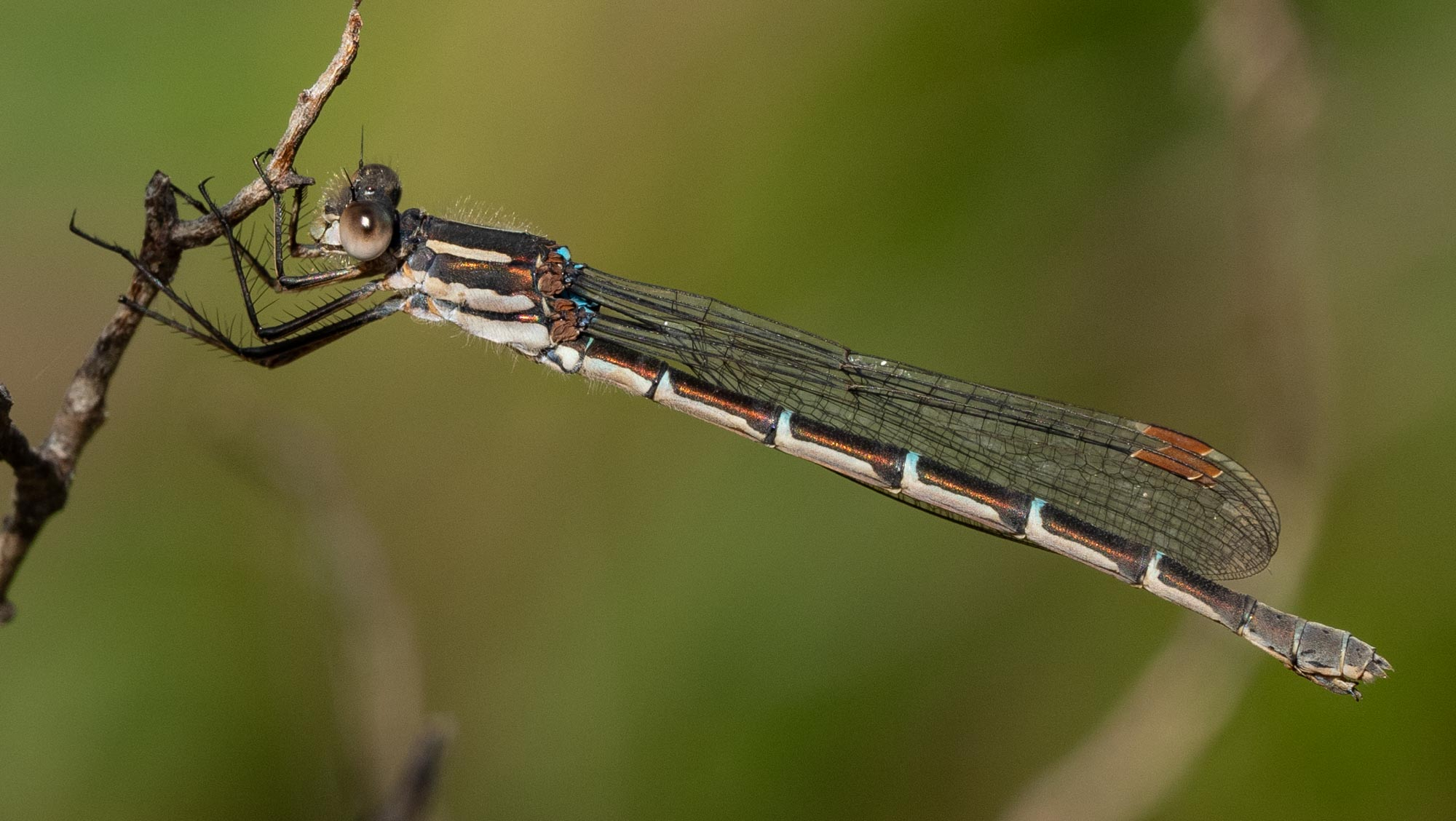 a damselfly, and an unfamiliar species I think!