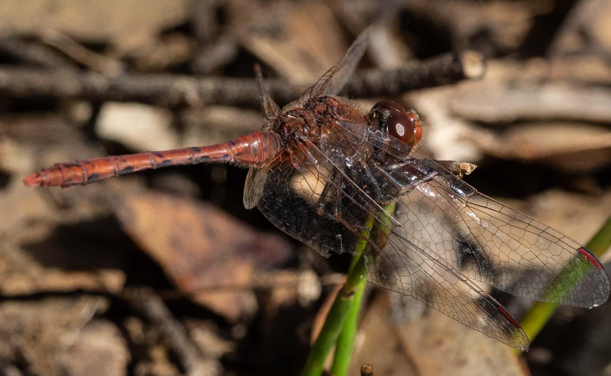 Wandering Percher - a widespread dragonfly