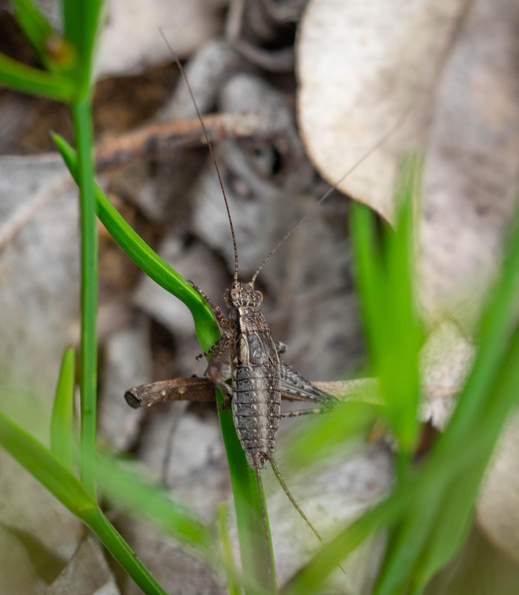 a tiny cricket