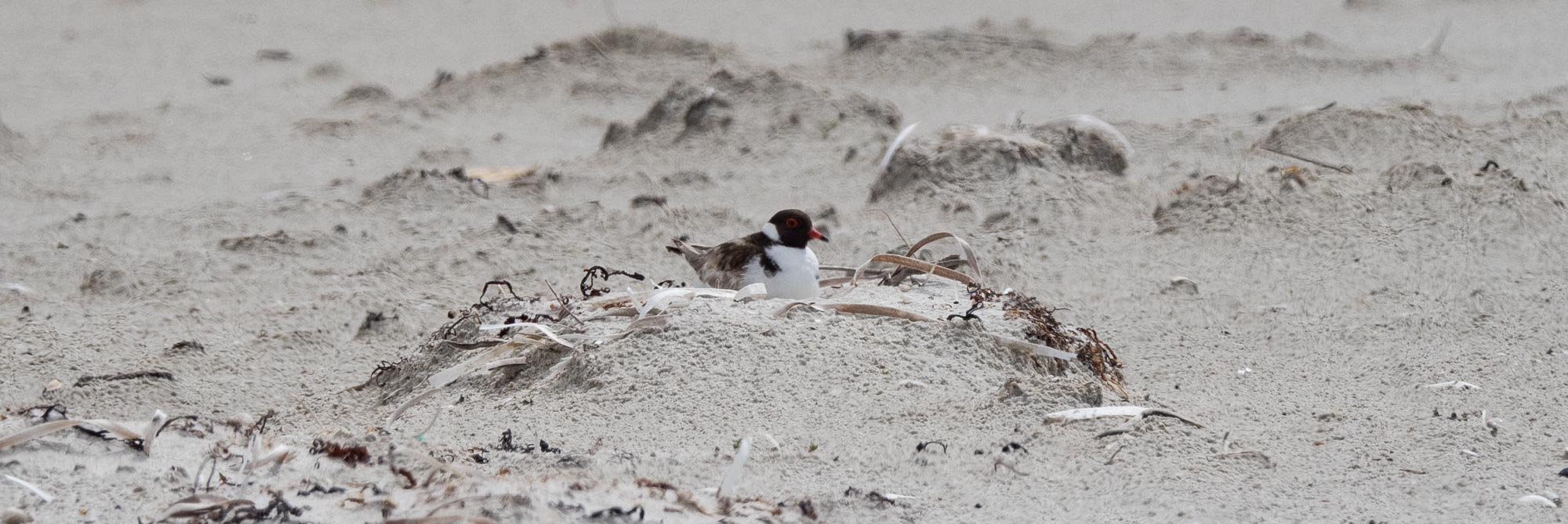 Hooded Plover sitting on a nest - in a very exposed position in the middle of the sandbar.